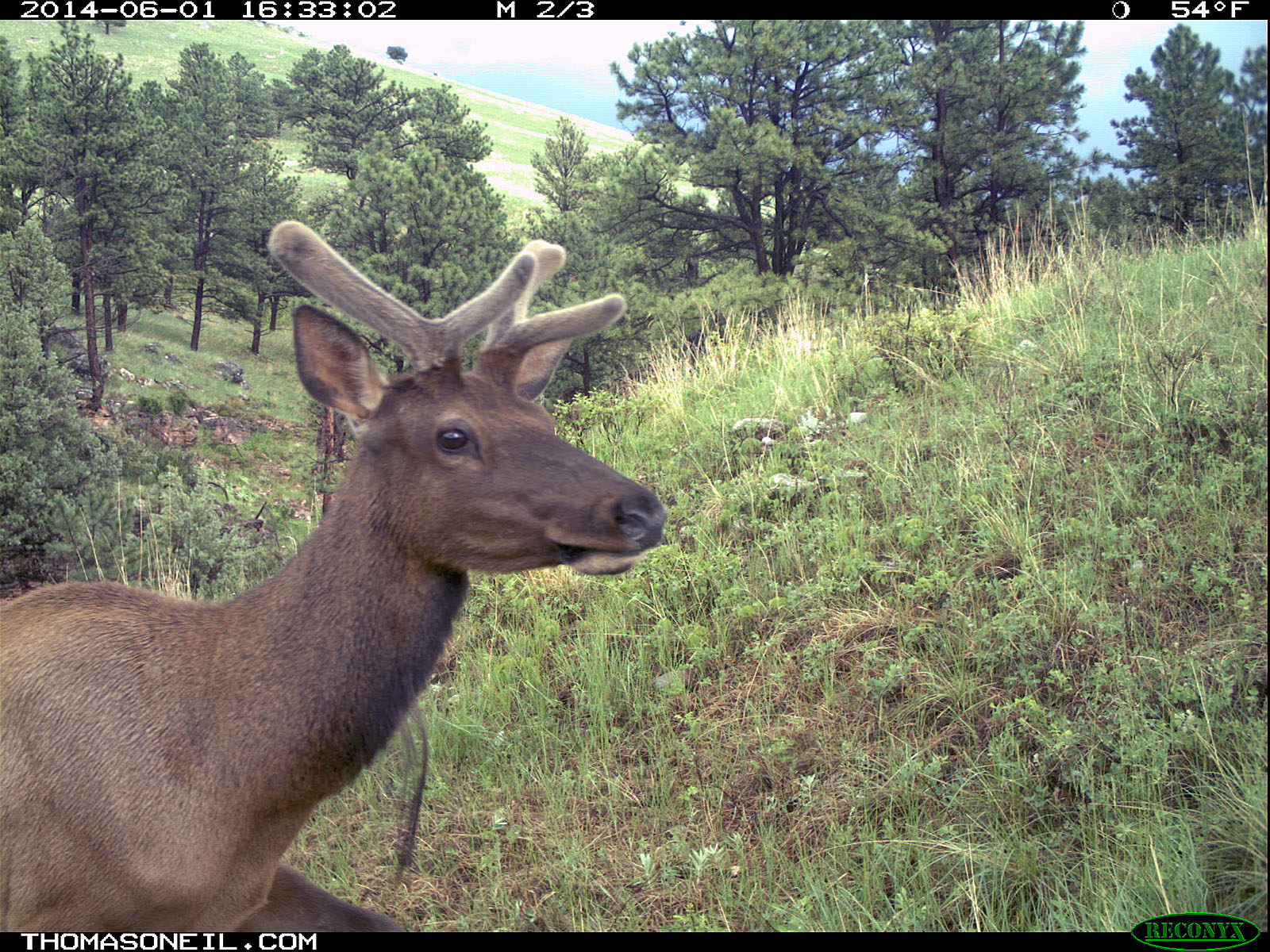 Elk on Reconyx trailcam, Wind Cave National Park.  Click for next photo.