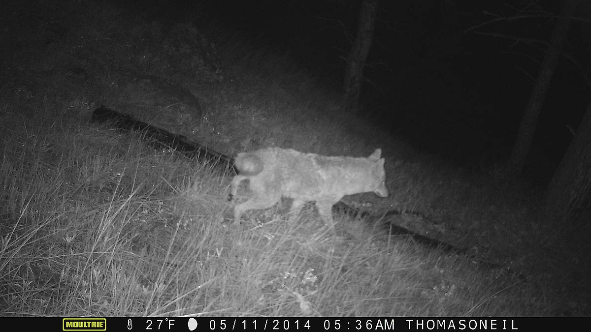 Coyote on Moultrie trailcam, Wind Cave National Park.  Click for next photo.