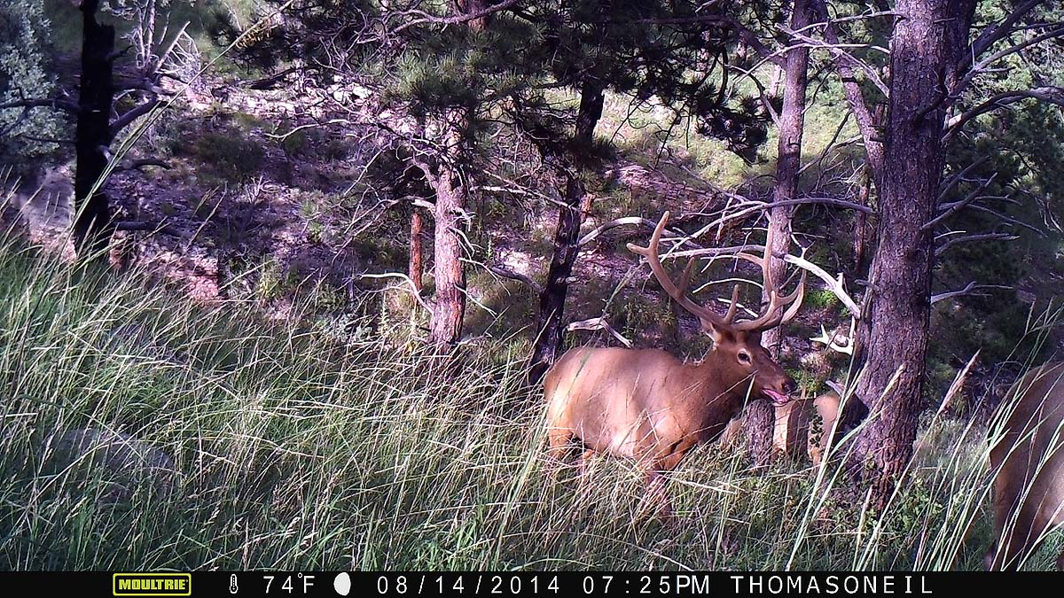 Elk on Moultrie trailcam, Wind Cave National Park.  Click for next photo.