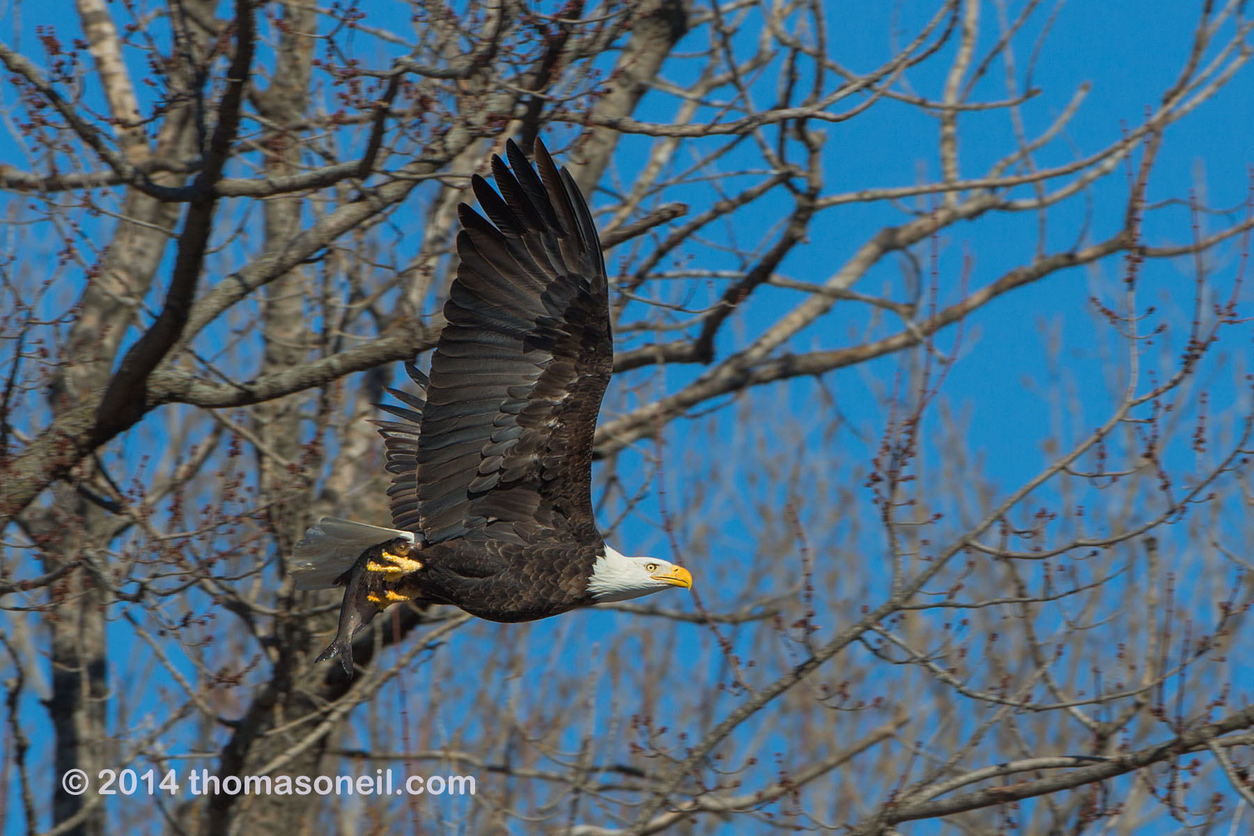 Bald eagle with fish, Lock and Dam 18 on the Mississippi River in Illinois, January 2014.  Click for next photo.