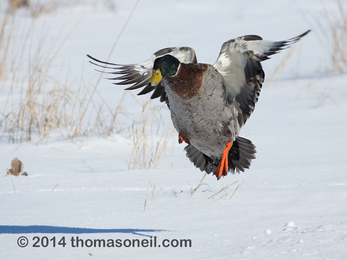 Duck landing, Arrowhead Park, Sioux Falls, March 2014.  Click for next photo.