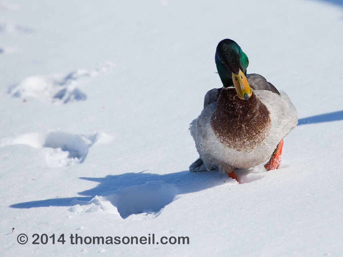 Duck struggling through the snow, Arrowhead Park, Sioux Falls, March 2014.  Click for next photo.