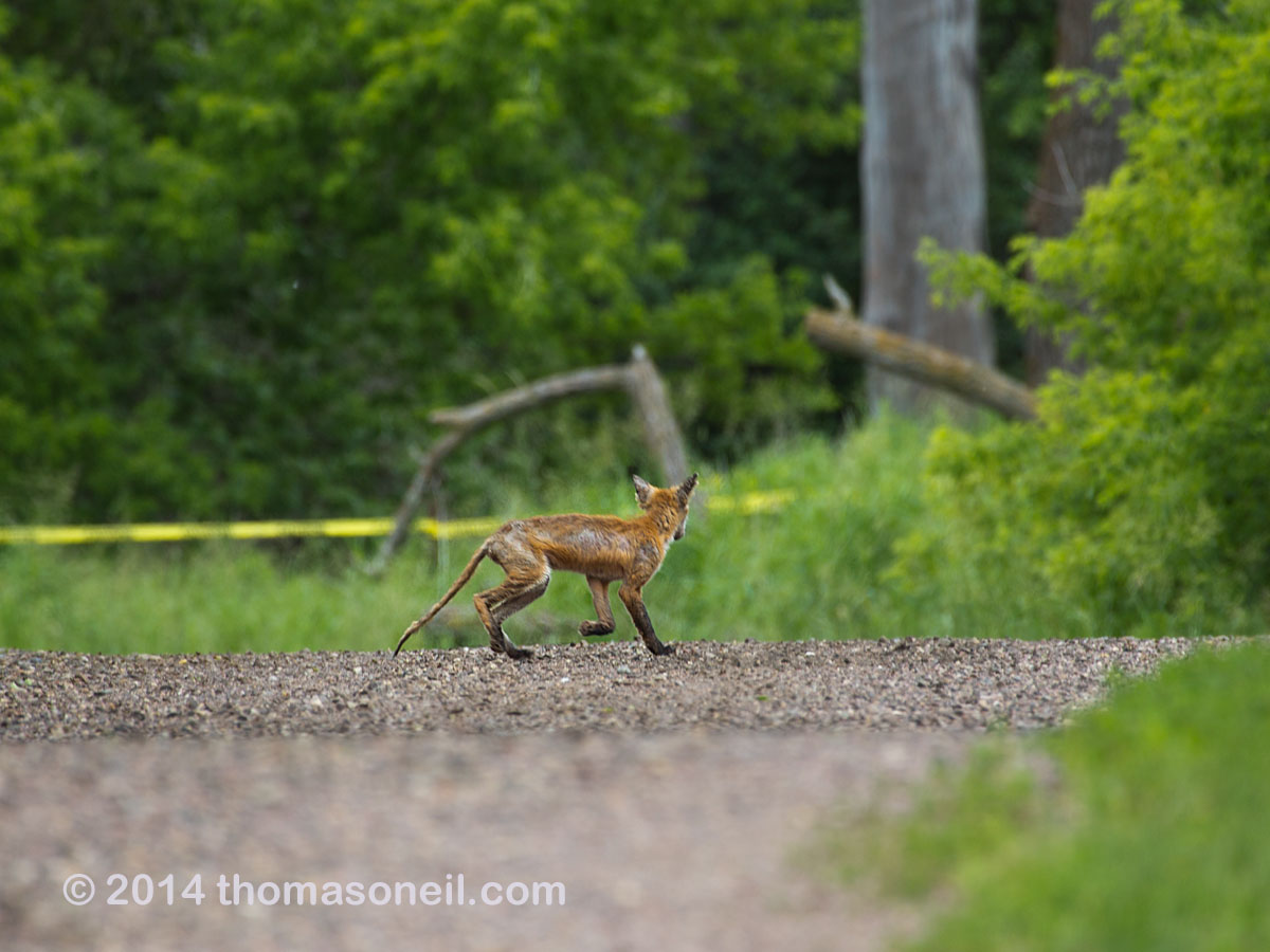 Fox heads for the woods, Newton Hills State Park, SD, June 2014.  Click for next photo.