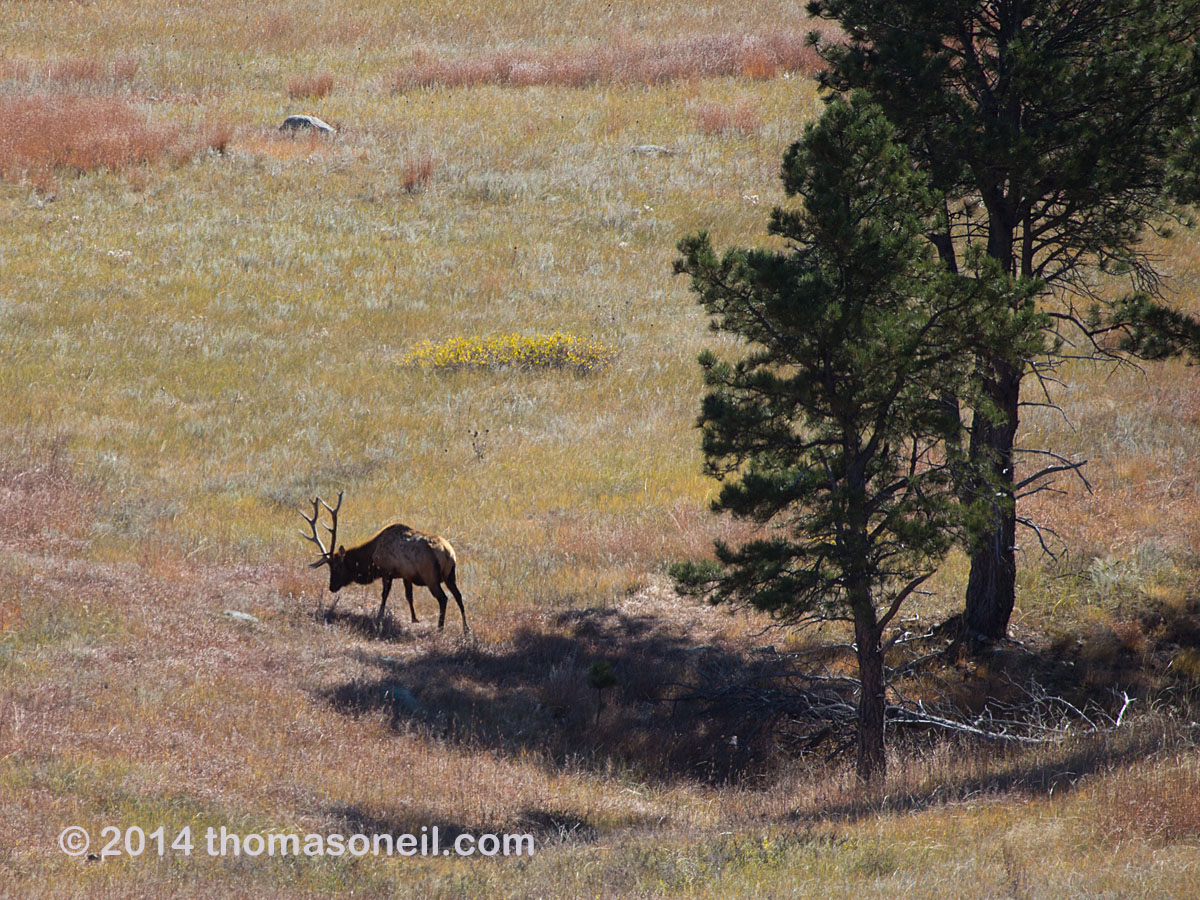 While walking down the hill to my trail cameras, I got an SLR shot of this elk lurking in the area, Wind Cave National Park, October 2014.  Click for next photo.