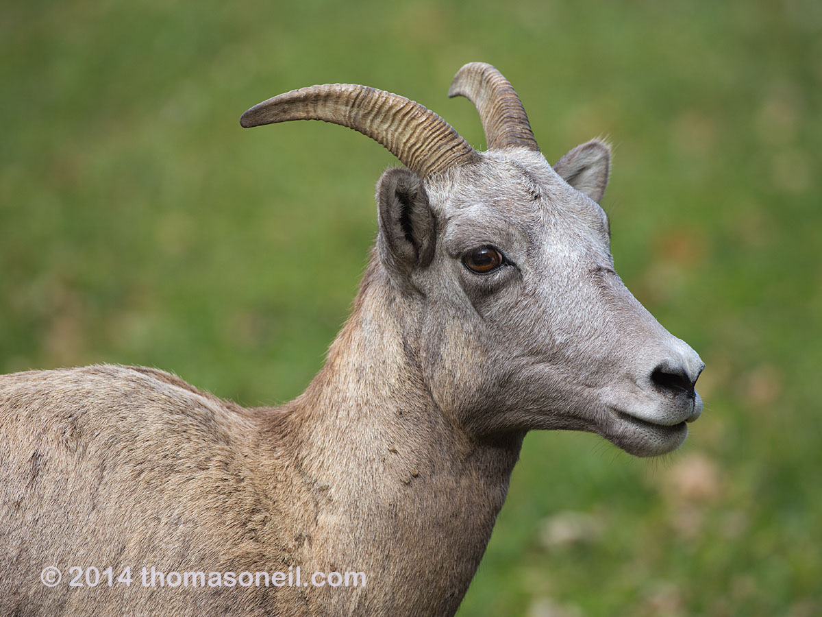 Bighorn ewe in Custer State Park, October 2014  Click for next photo.
