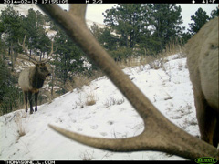 Elk framed on trail camera