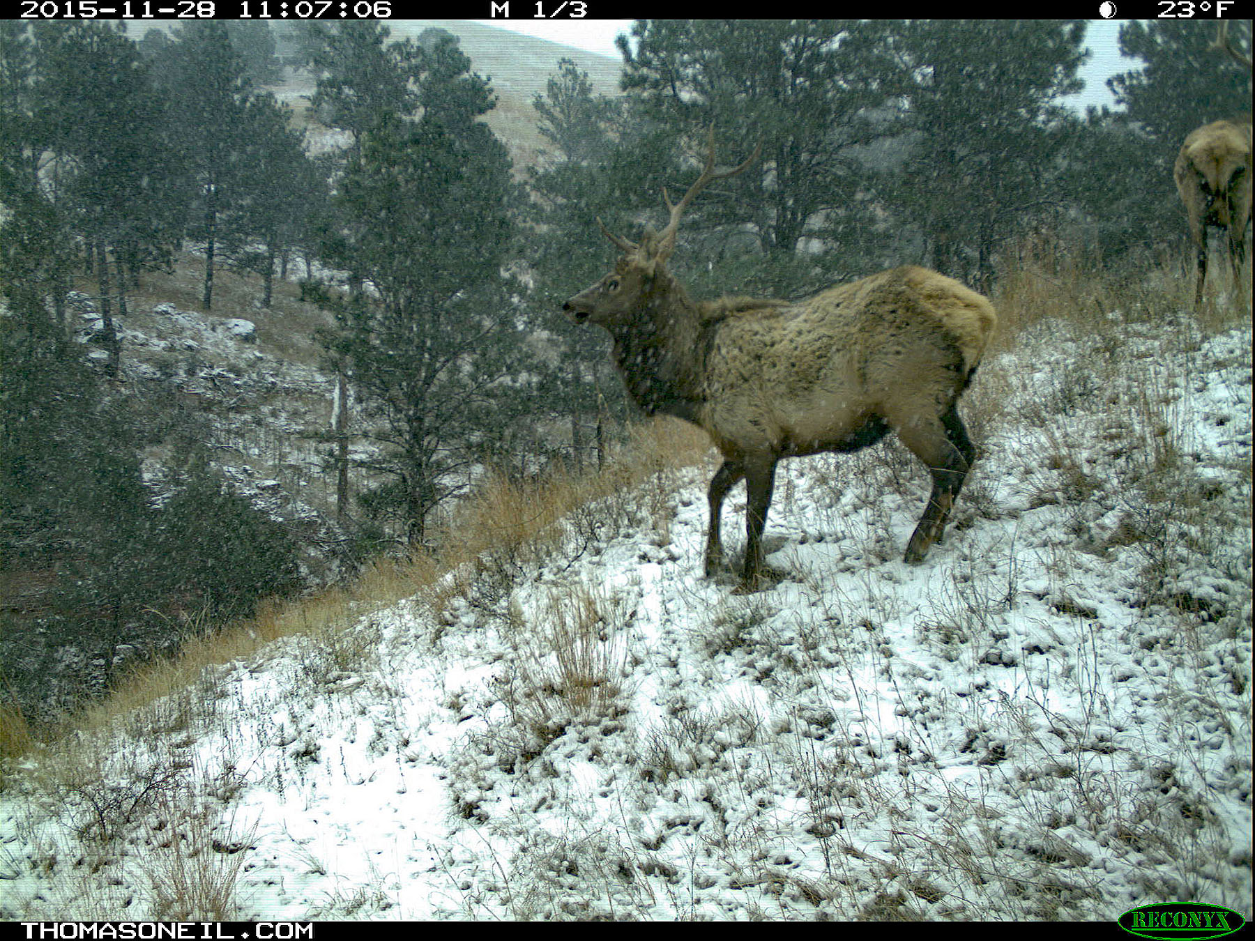 Trailcam image from Wind Cave National Park in November 2015, elk in show.  Click for next photo.