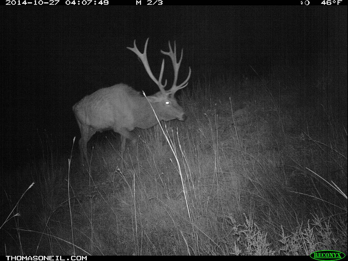 Elk on trailcam, Custer State Park, October 2014.  Click for next photo.