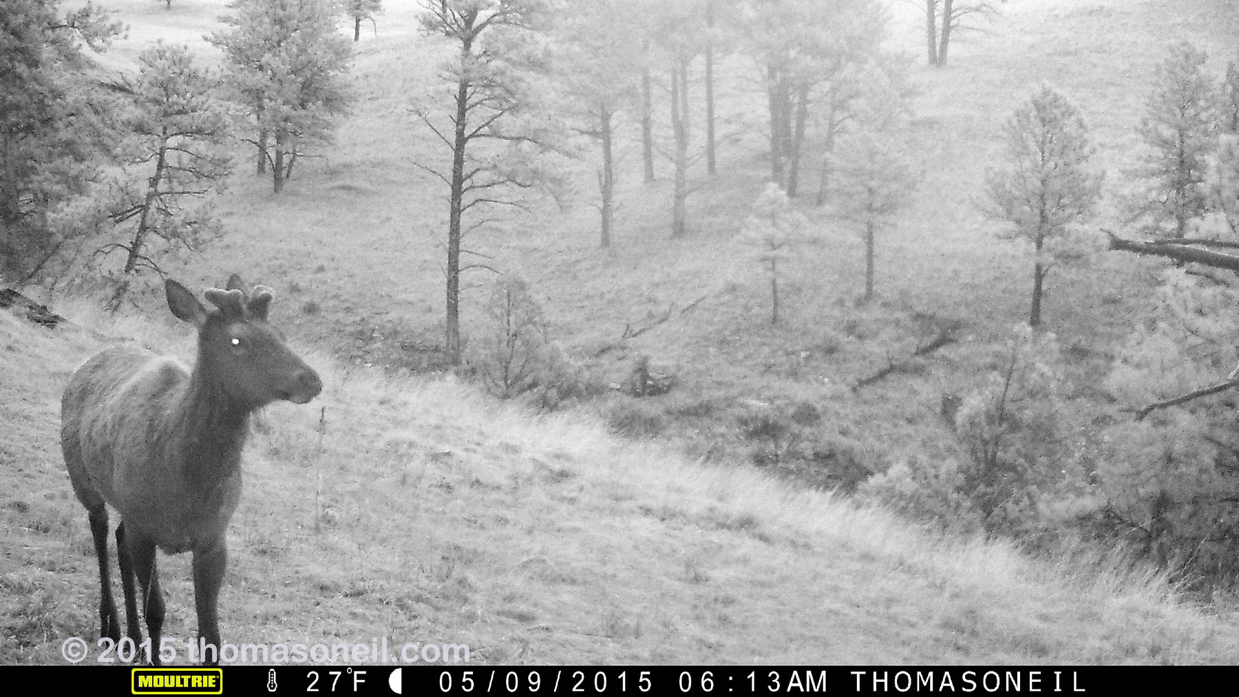 Elk on trailcam, Wind Cave National Park, May 2015,   Click for next photo.