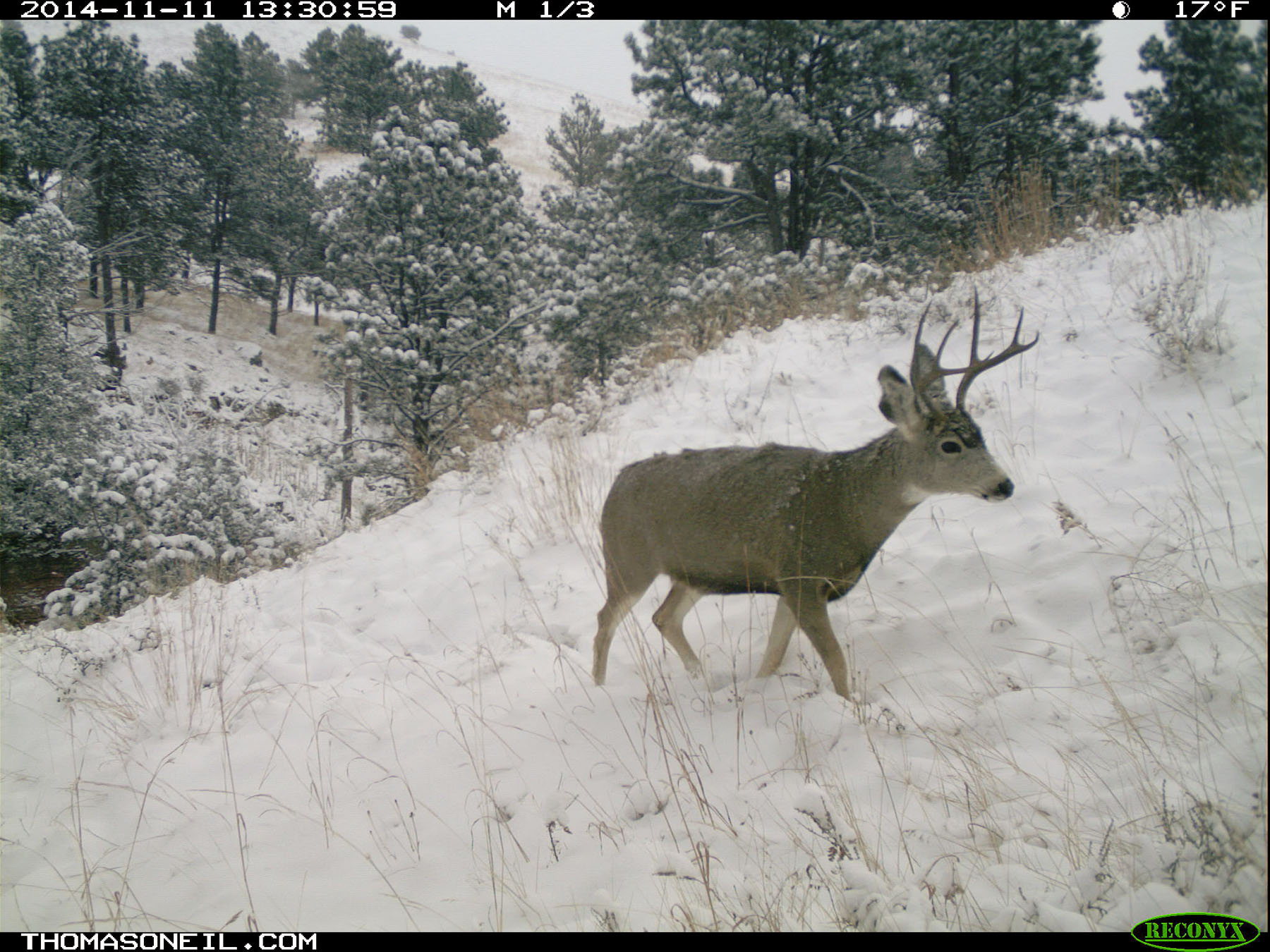 Deer on trailcam, Custer State Park, November 2014.  Click for next photo.