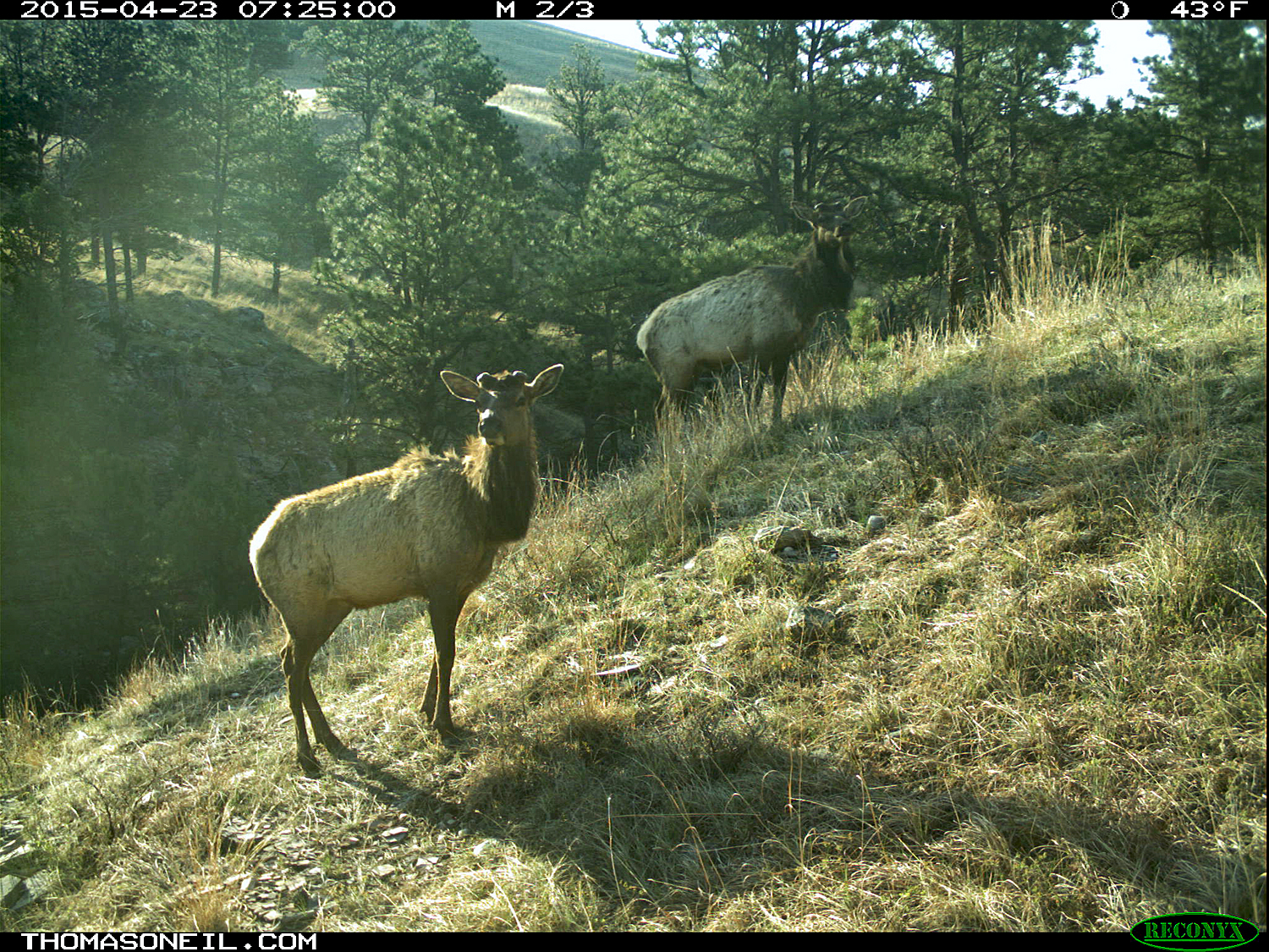 Two elk on trailcam, Wind Cave National Park, April 2015,   Click for next photo.