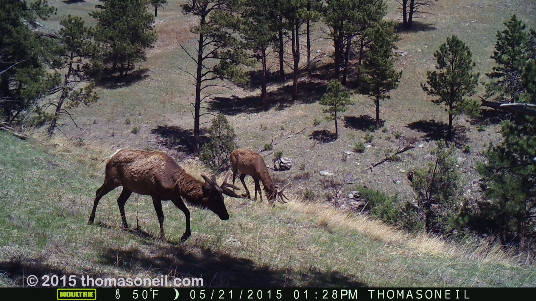 Two elk on trailcam, Wind Cave National Park, May 2015,   Click for next photo.