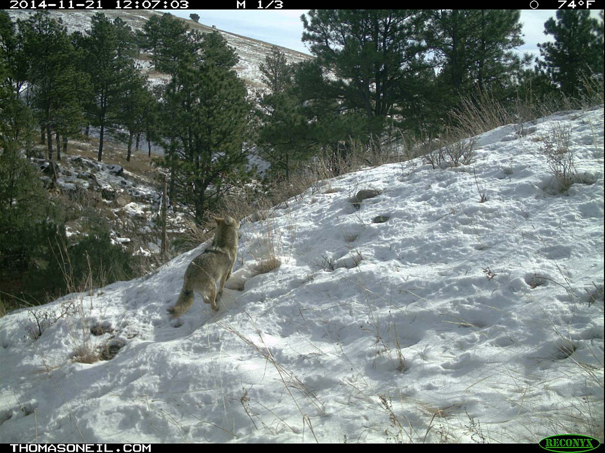 Coyote running on trailcam, Custer State Park, November 2014.  Click for next photo.