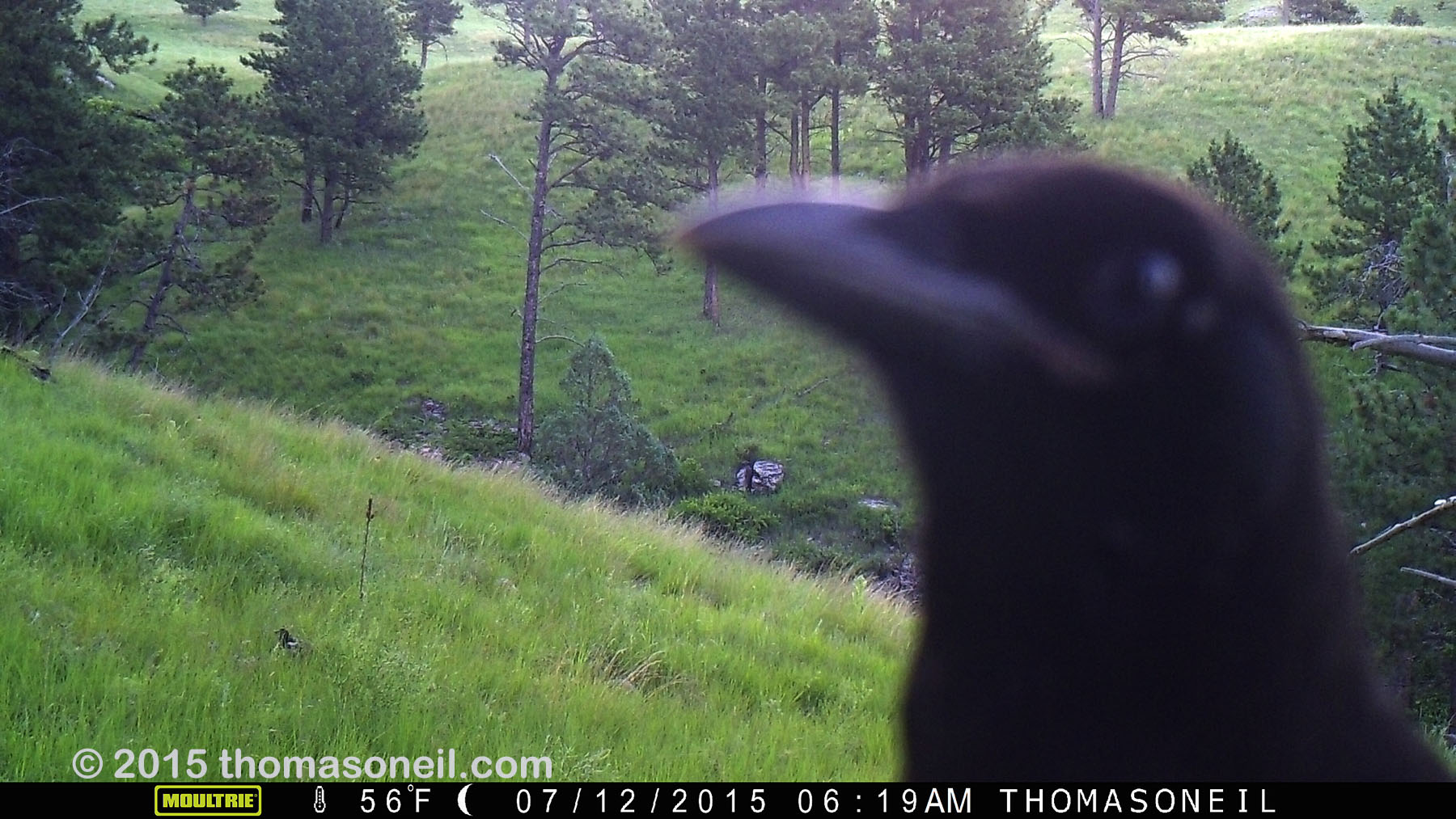 Raven getting up close with trailcam, Wind Cave National Park, July 2015,   Click for next photo.