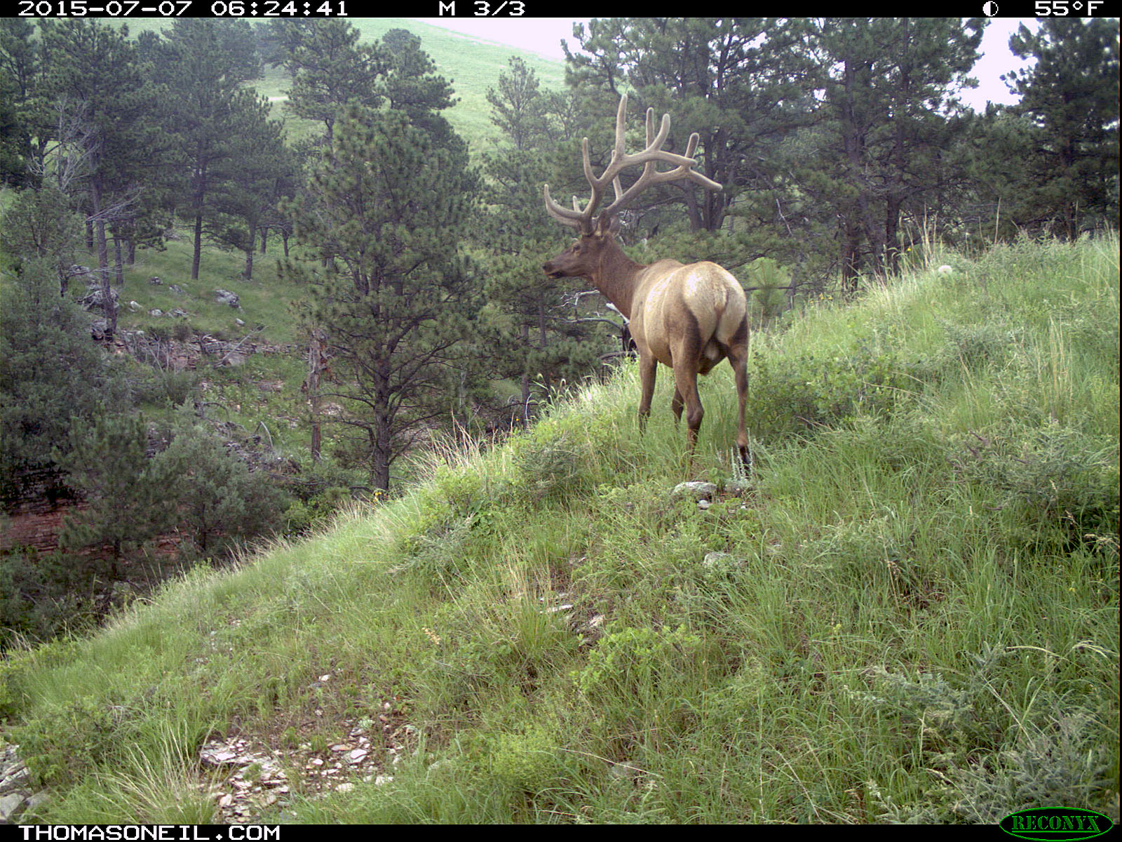 Elk scratching sequence on trailcam, 1 of 7, Wind Cave National Park, July 2015,   Click for next photo.