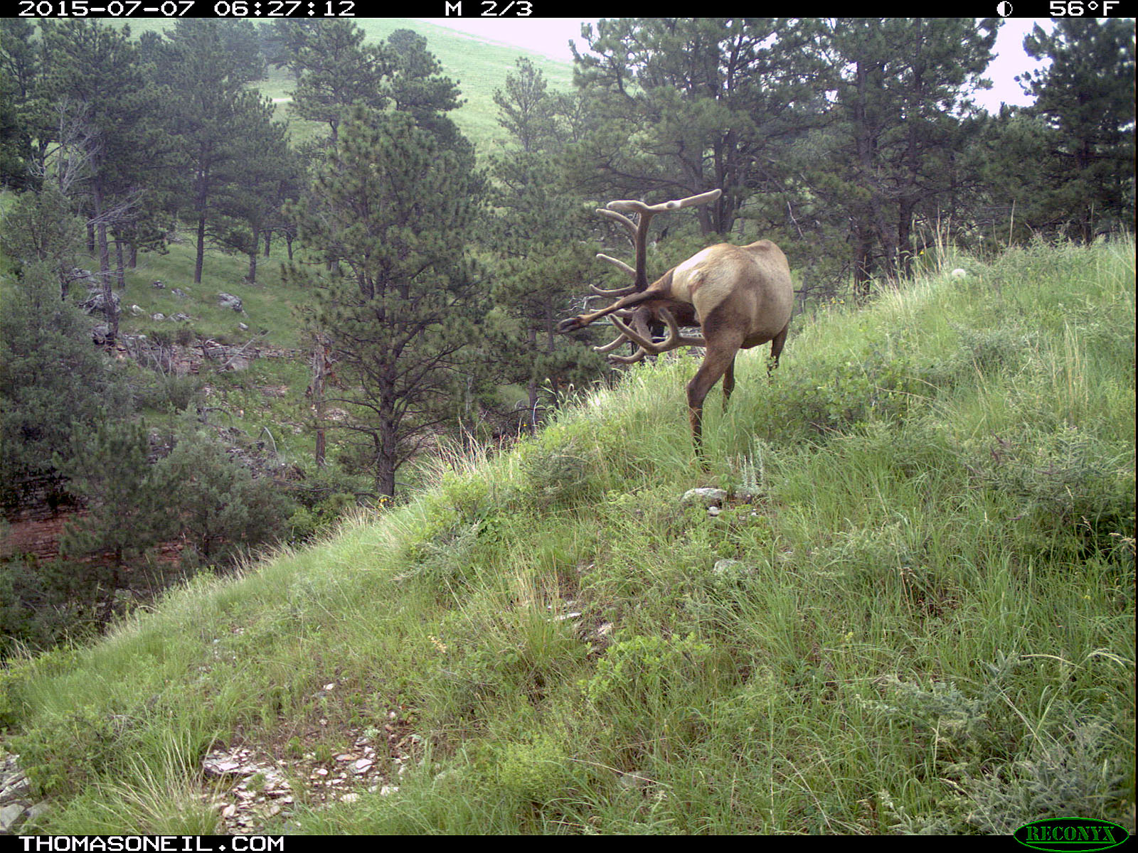 Elk scratching sequence on trailcam, 3 of 7, Wind Cave National Park, July 2015,   Click for next photo.