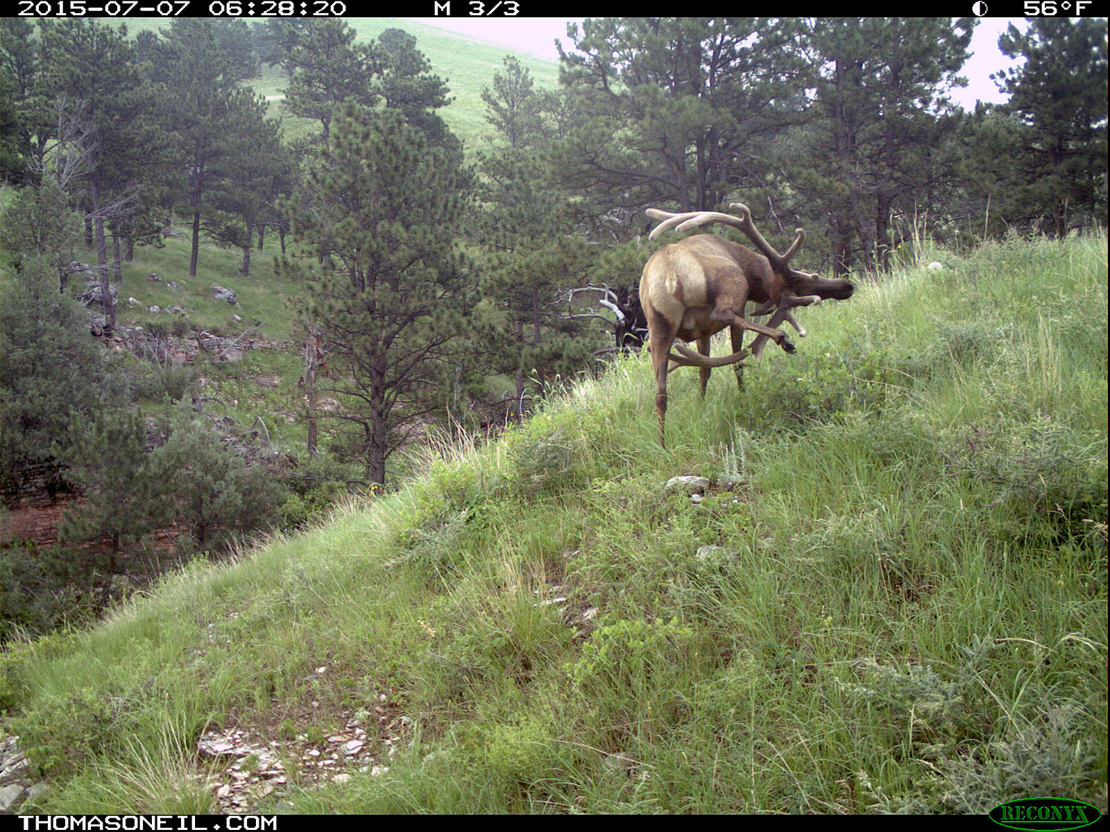 Elk scratching sequence on trailcam, 7 of 7, Wind Cave National Park, July 2015,   Click for next photo.