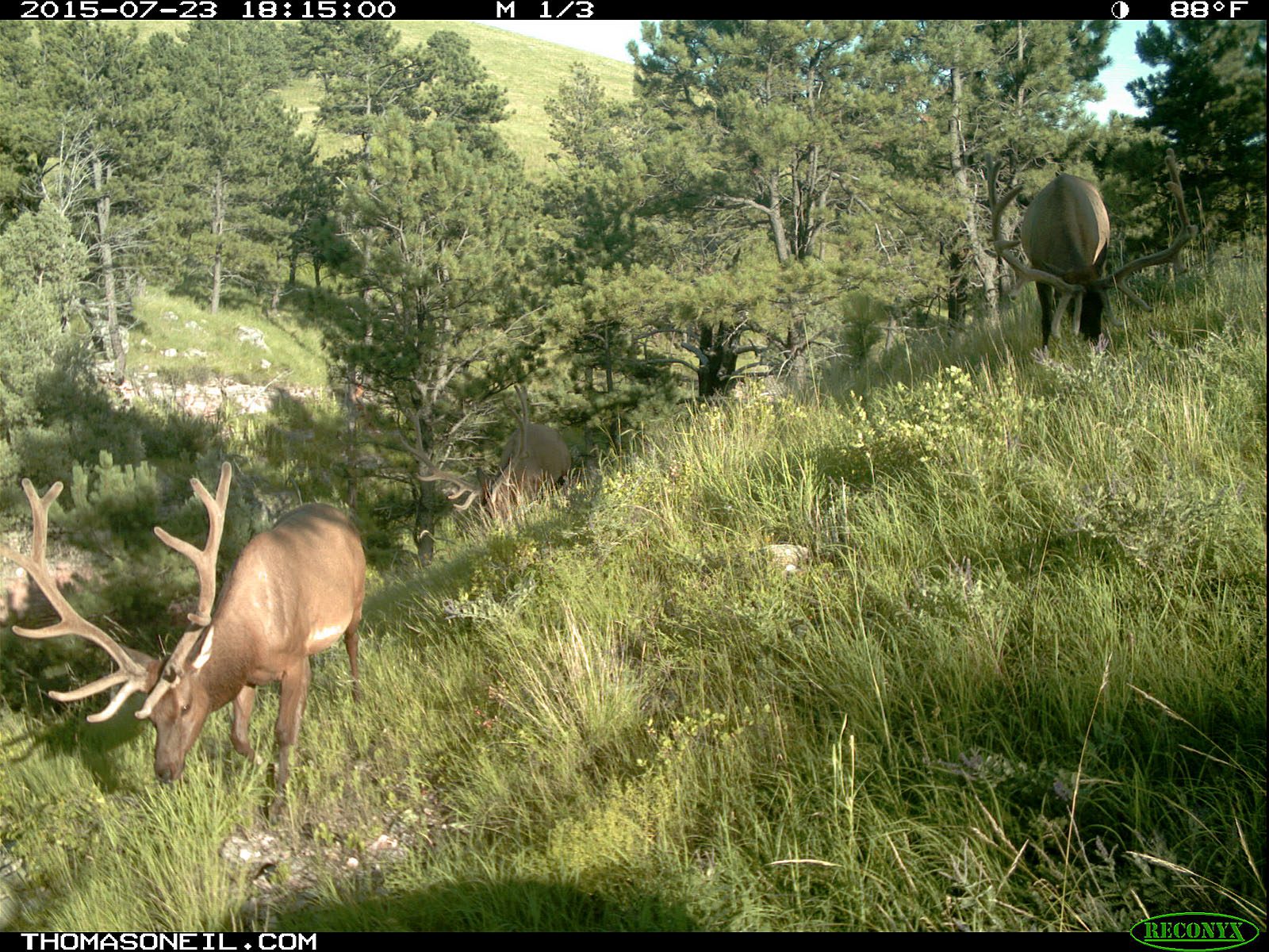 Elk on trailcam, Wind Cave National Park, July 2015,   Click for next photo.