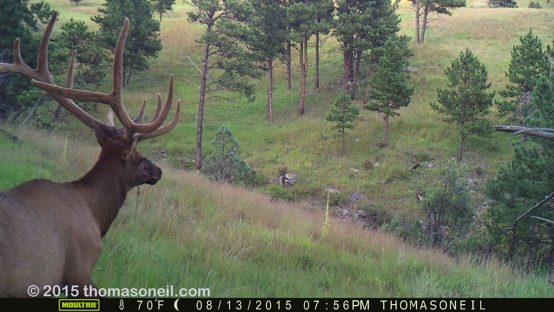 Elk on trailcam, Wind Cave National Park, August 2015,   Click for next photo.