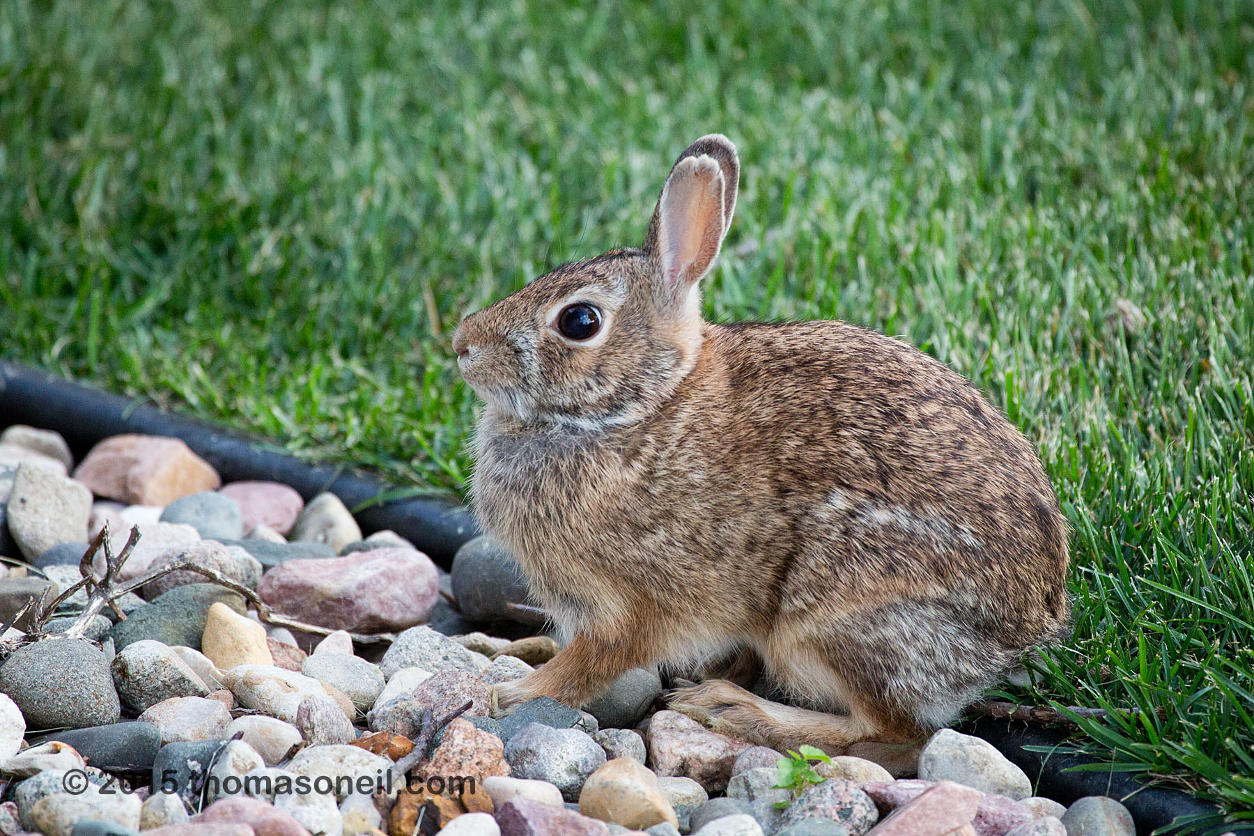 Bunny in my yard, September 2015  Click for next photo.