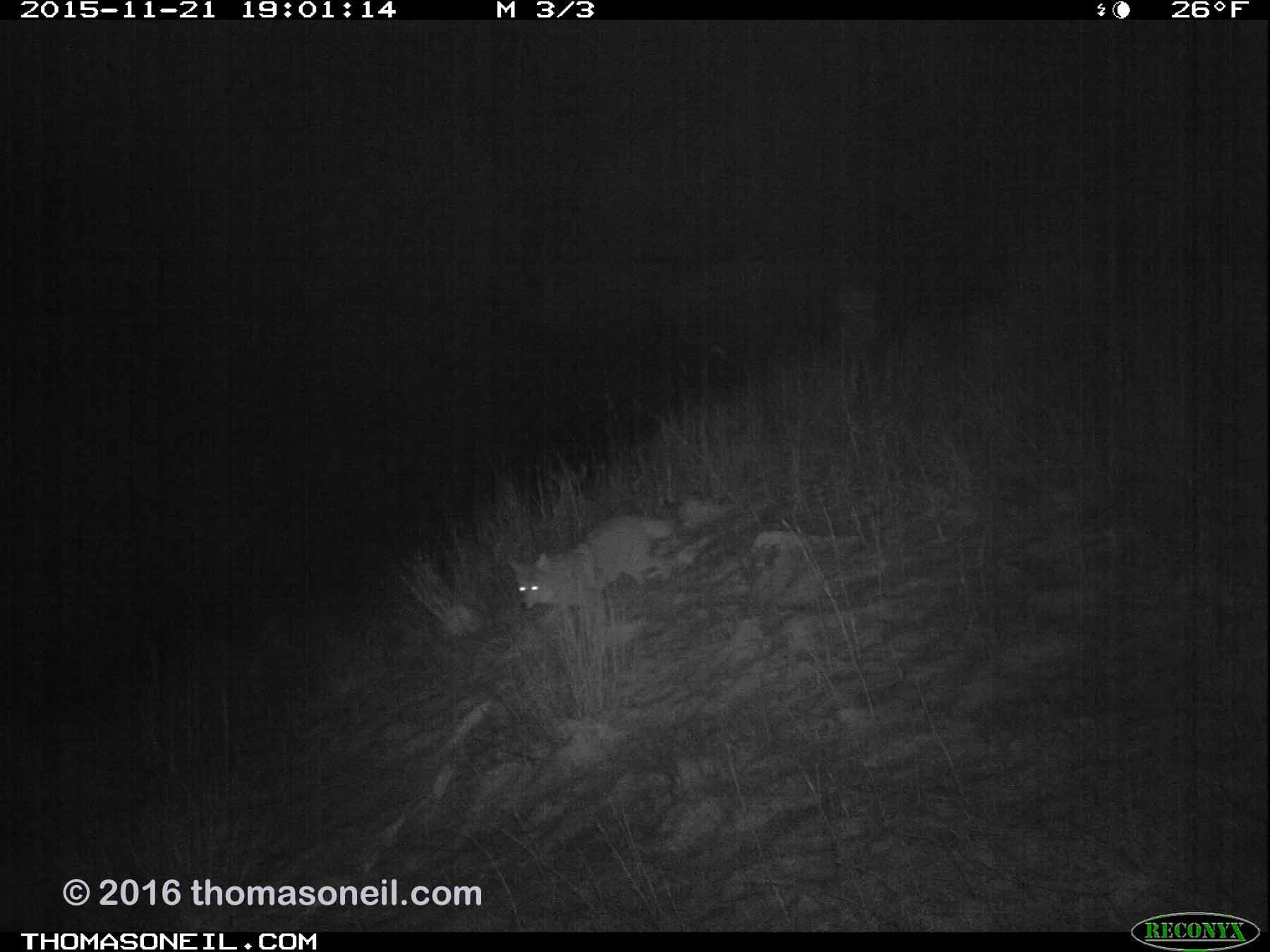 Trailcam image from Wind Cave National Park in November 2015, coyote at night.  Click for next photo.