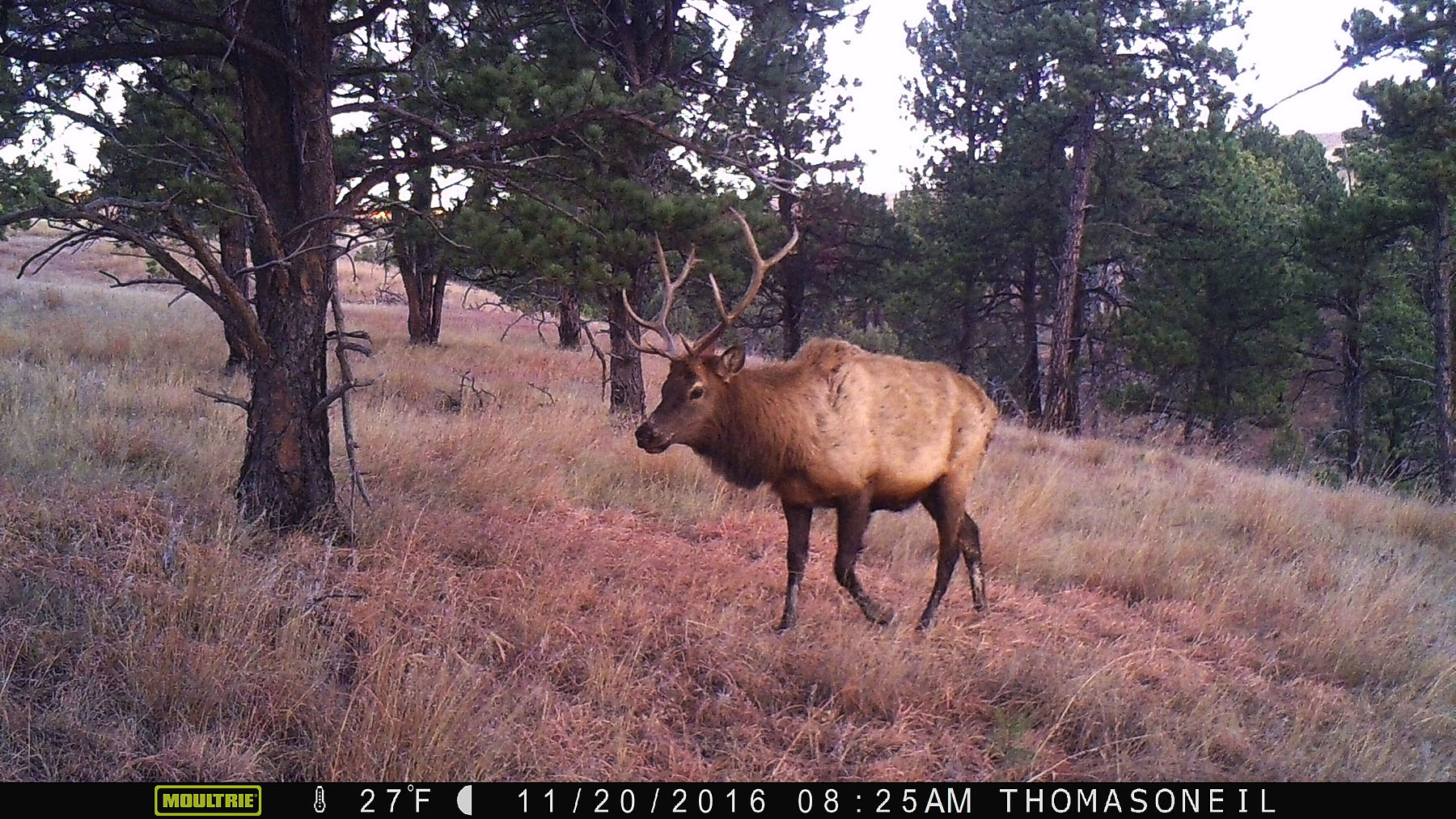 An elk on trailcam in Wind Cave National Park, SD, November 2016.  Click for next photo.