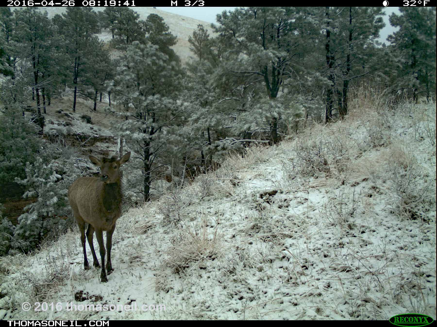 Trailcam image from Wind Cave National Park in April 2016, elk in snow.  Click for next photo.