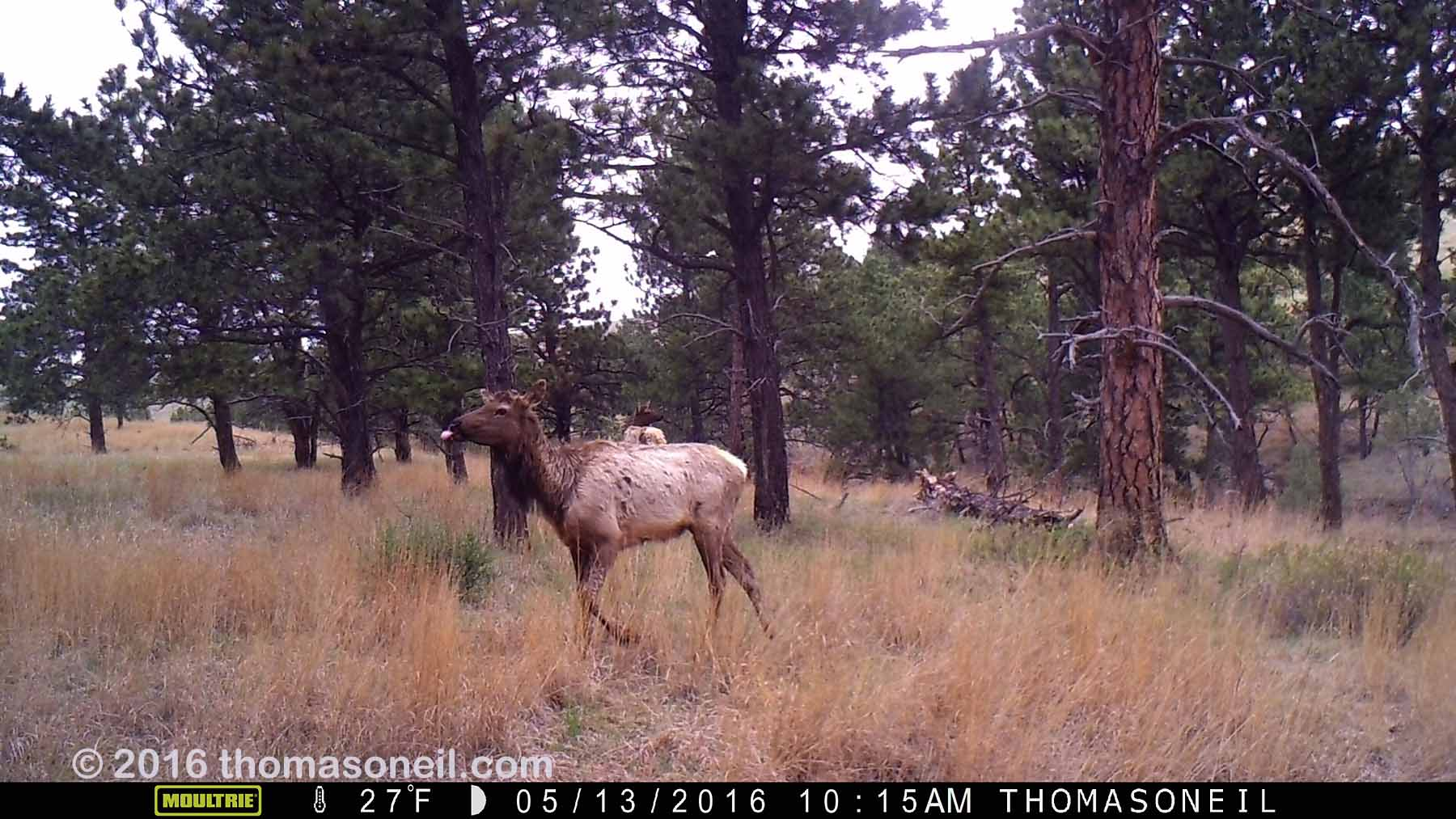 Elk on Moultrie trailcam, Wind Cave National Park, May 13, 2016.  Compare to following image on Primos trailcam.  Click for next photo.