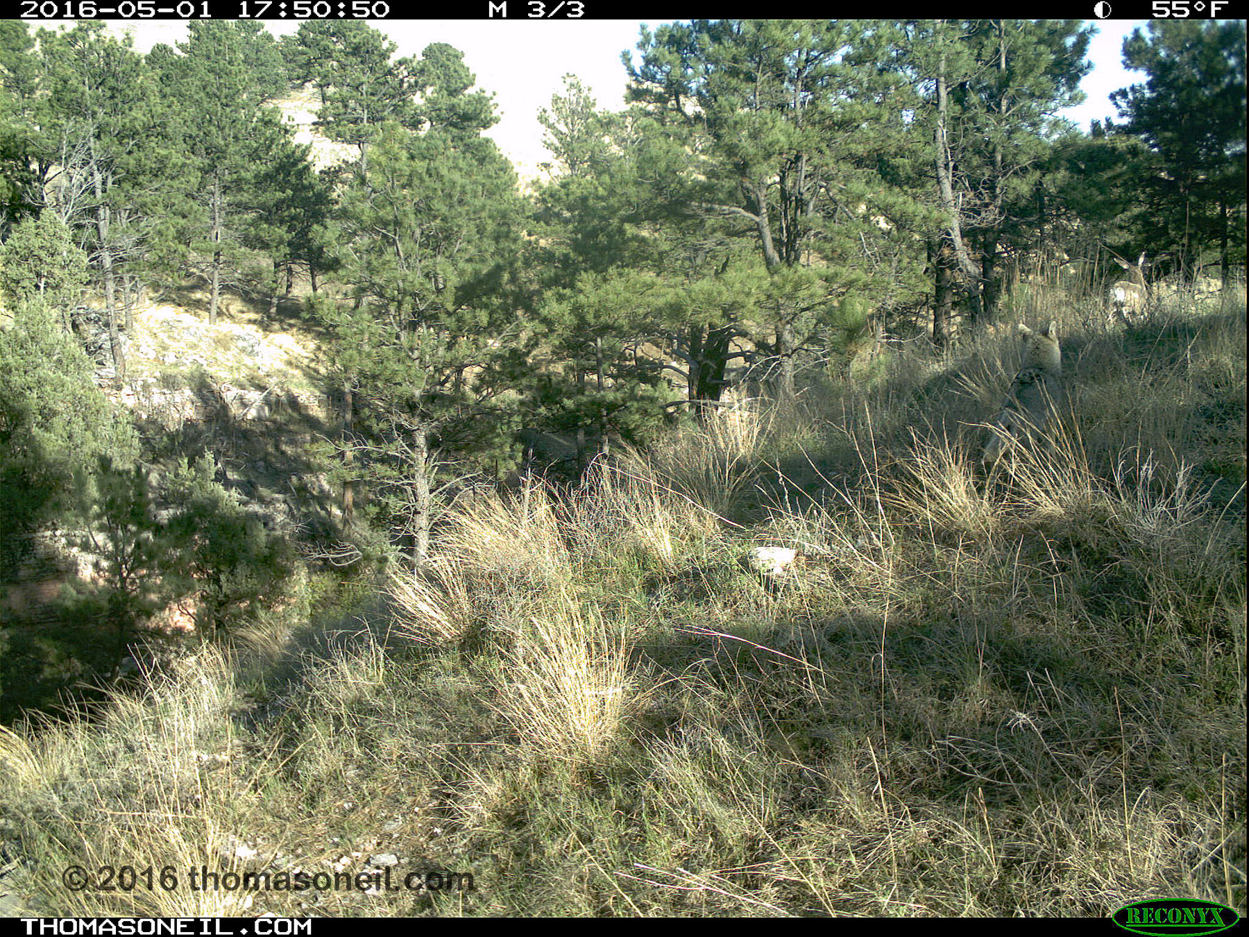 Trailcam image from Wind Cave National Park in May 2016, you need to look closely at upper right to see a coyote starting to chase a deer.  Click for next photo.