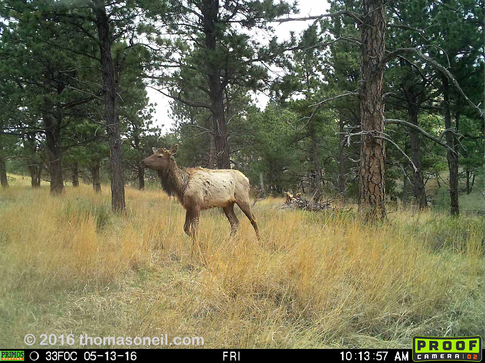 Elk on Primos trailcam, Wind Cave National Park, May 13, 2016.  Compare to previous image on Moultrie trailcam.  Click for next photo.