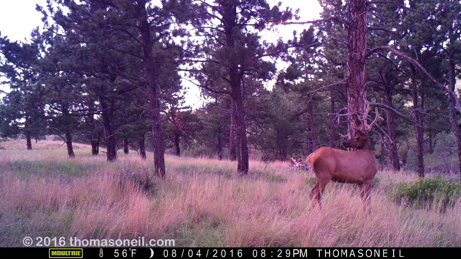 Elk on trailcam, Wind Cave National Park, Aug. 4, 2016.  Click for next photo.