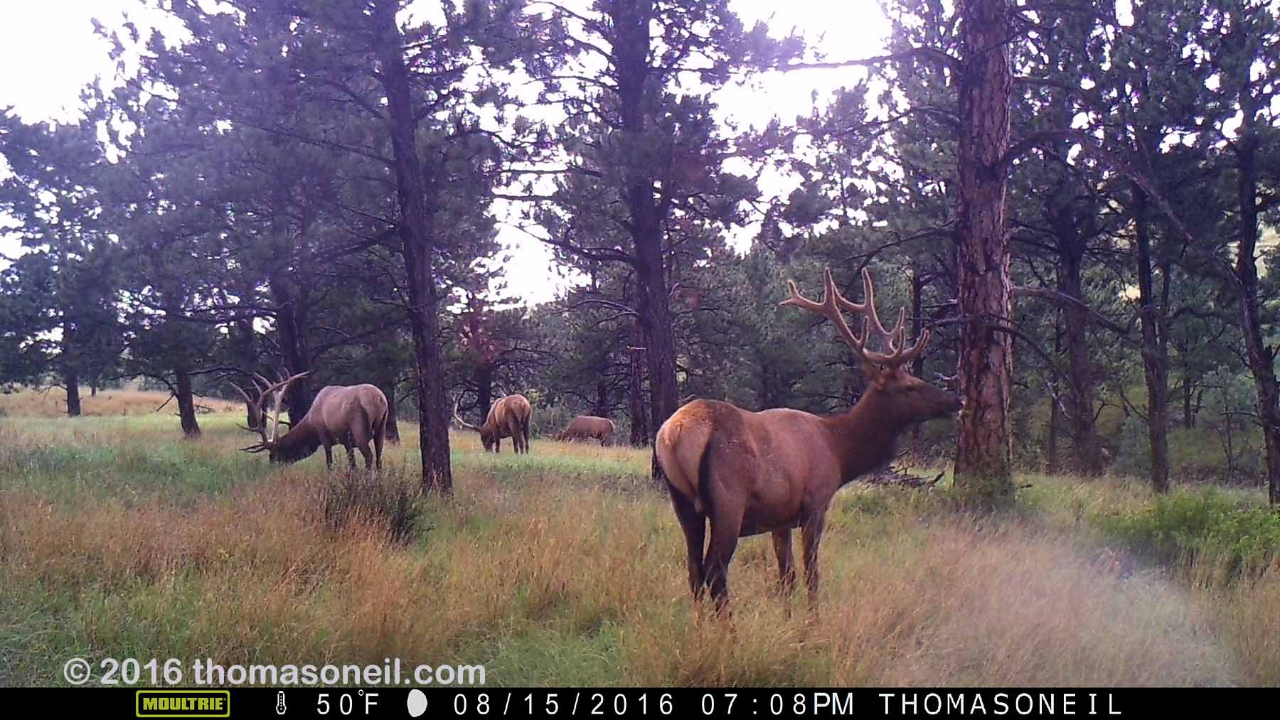Elk on trailcam, Wind Cave National Park, August 2016.  Click for next photo.