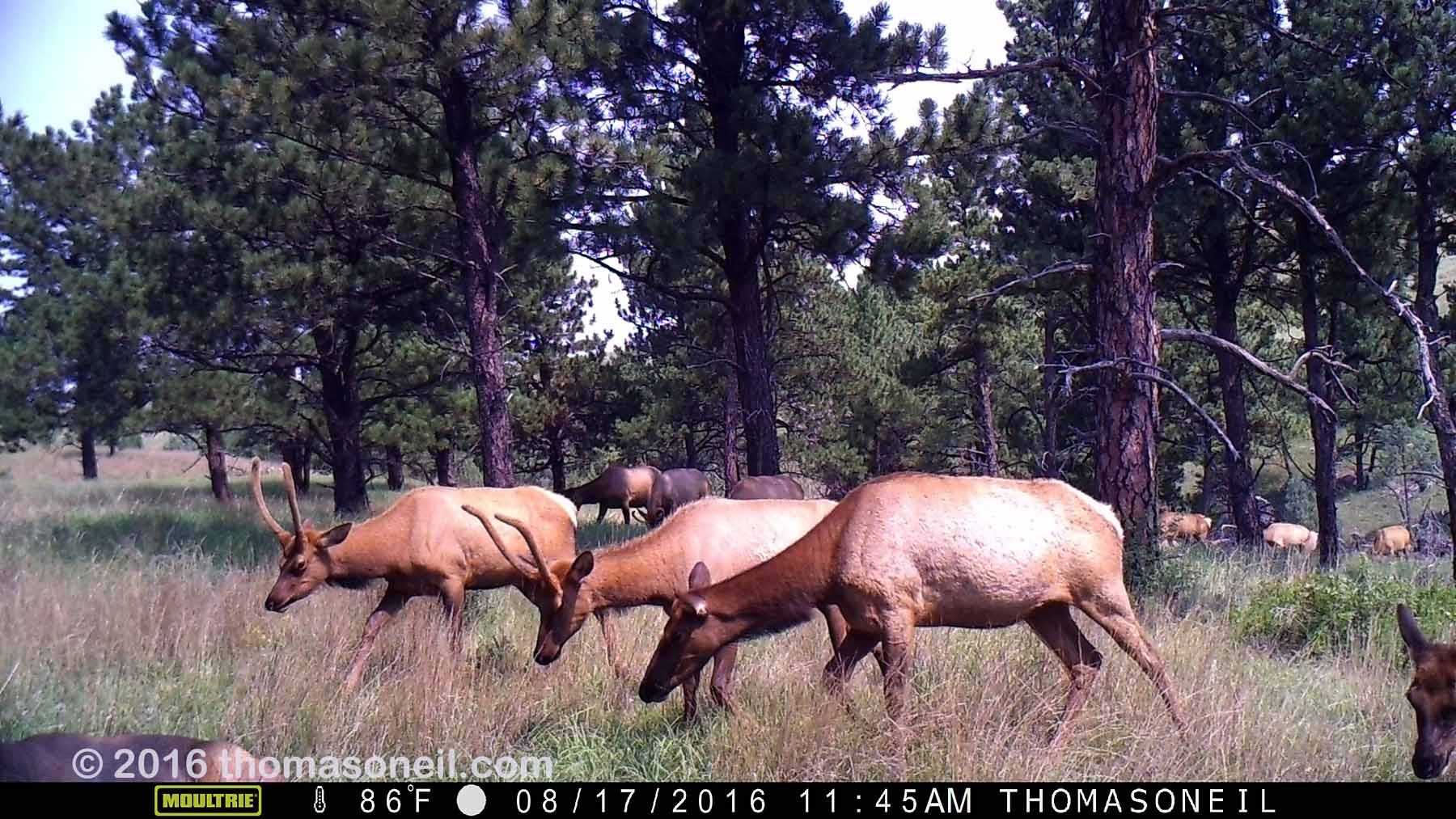 Elk on trailcam, Wind Cave National Park, August 2016.  Based on other images in this sequence, I estimate more than 20 elk passed through this area at this time.  Click for next photo.