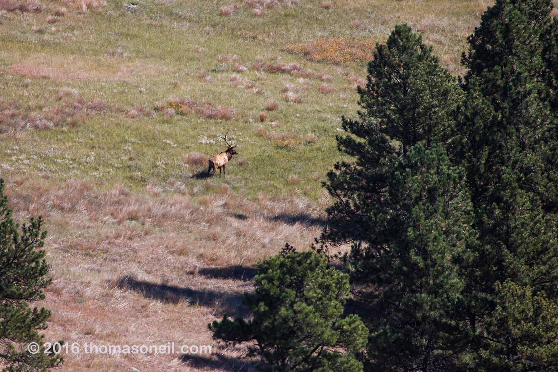 Distant SLR shot of elk while hiking down to my trailcam location, Wind Cave National Park, October 2016.  Click for next photo.