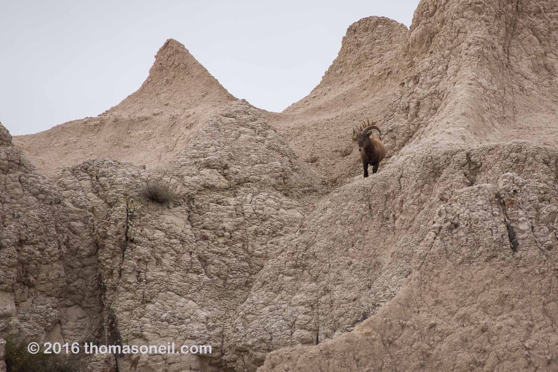 Bighorn sheep in the Badlands, October 2016.  Click for next photo.