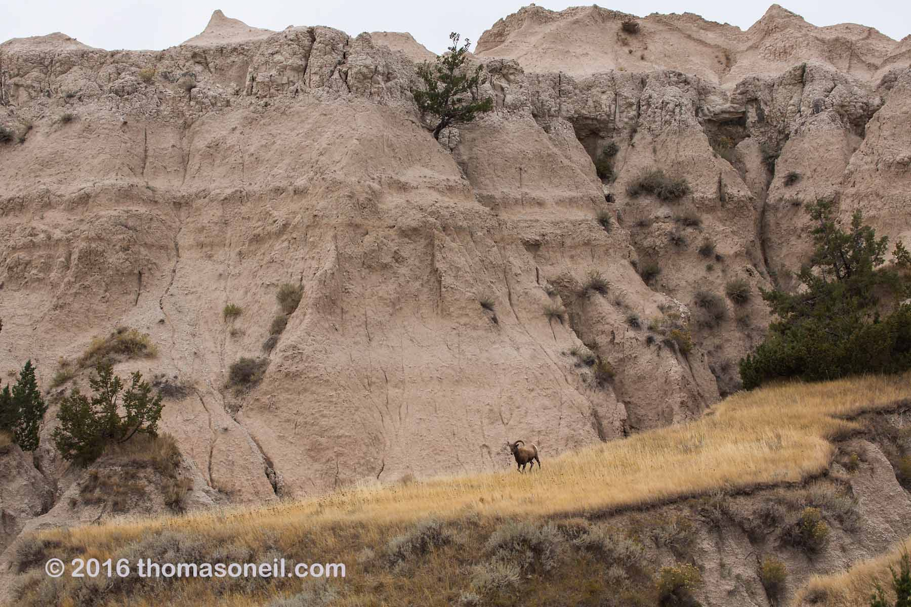 Bighorn sheet in the Badlands, October 2016.  Click for next photo.