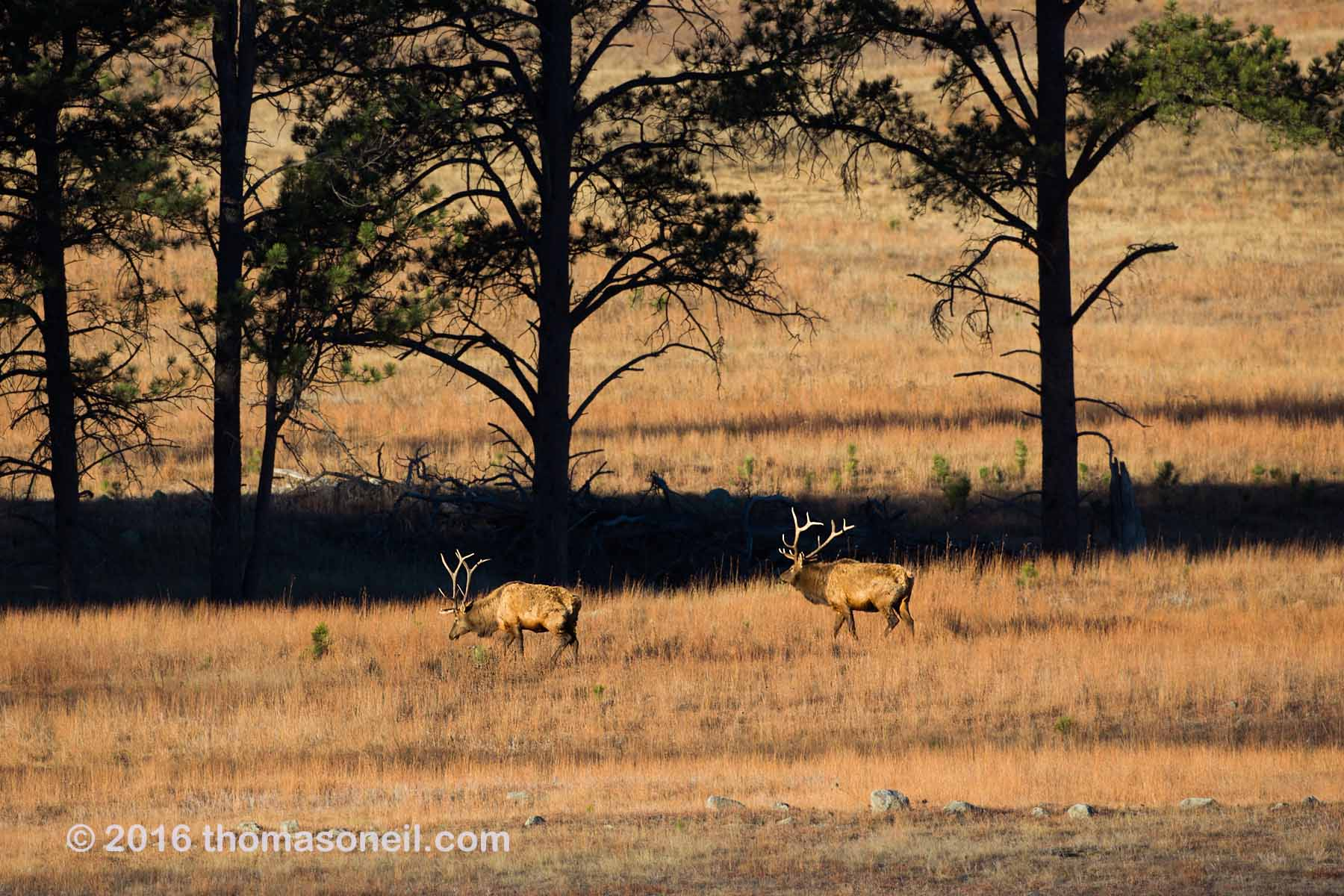 Elk along the highway, Wind Cave National Park, November 2016.  Click for next photo.