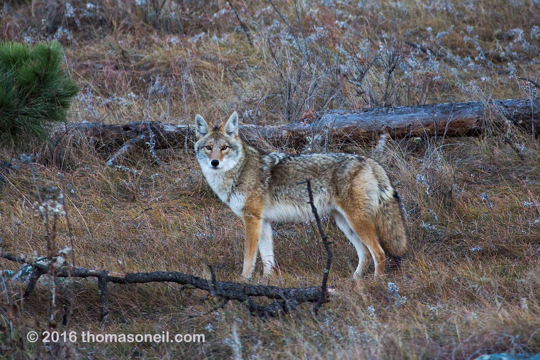From the looks of this coyote, he has had a good summer hunting prairie dogs, Wind Cave National Park, November 2016.  Click for next photo.