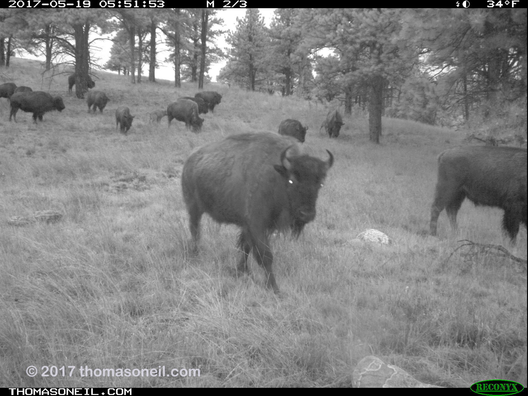 Bison passing in the predawn hours, May 19, 2017.  Click for next photo.