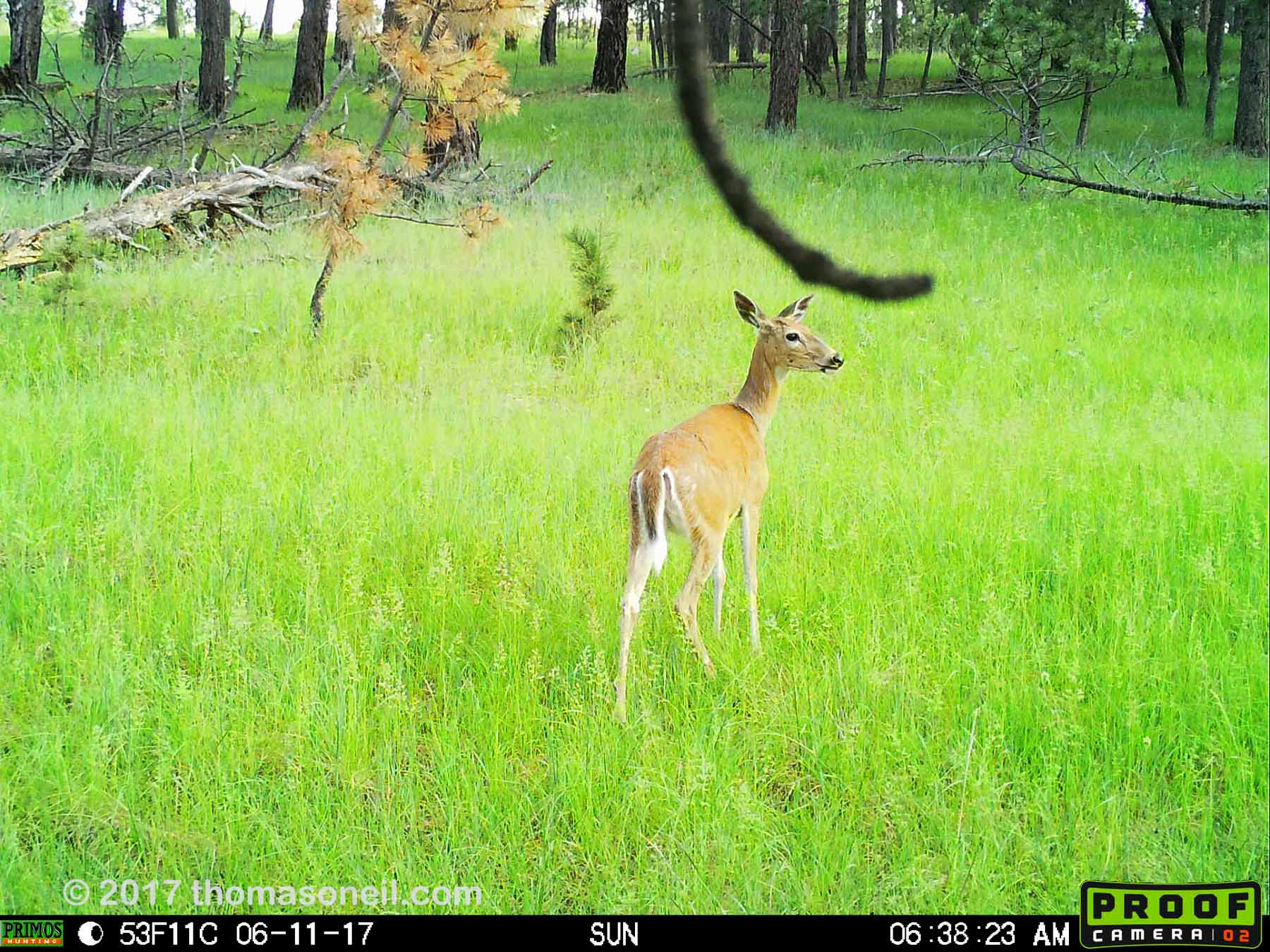 Deer, June 11, 2017.  This is probably the best image I can get from the Primos trailcam, but I'm going to try something else.  Click for next photo.