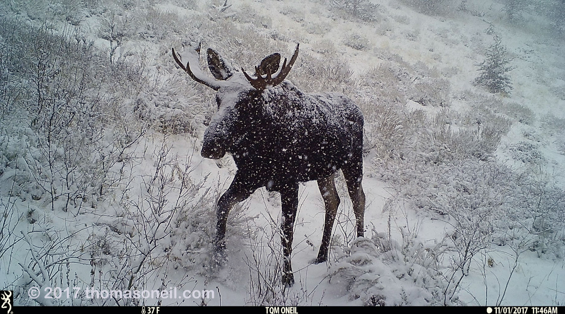 Moose in Montana on trailcam, November 2017.  Click for next photo.
