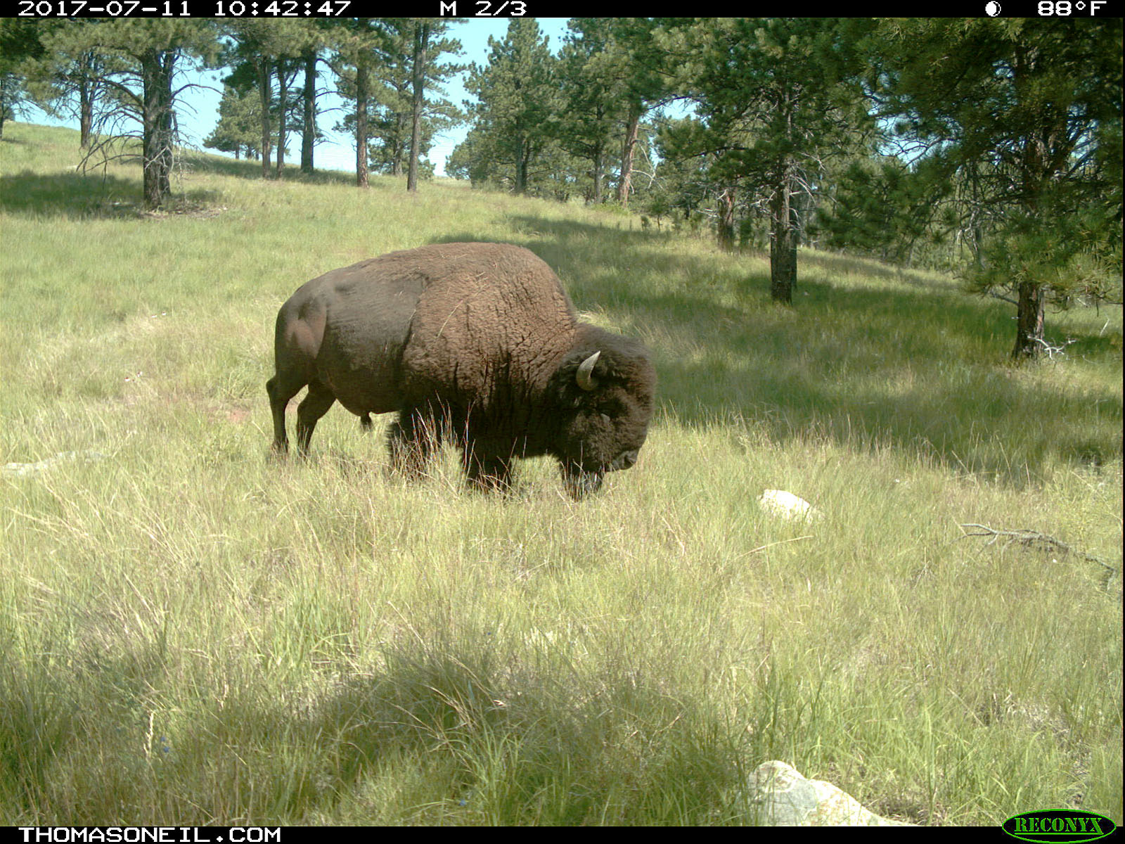 Bison staking out a grazing spot, July 11, 2017.  Click for next photo.