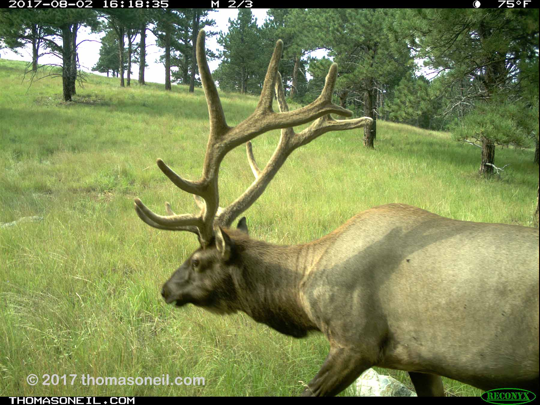 Elk, Aug. 2, 2017.  Click for next photo.