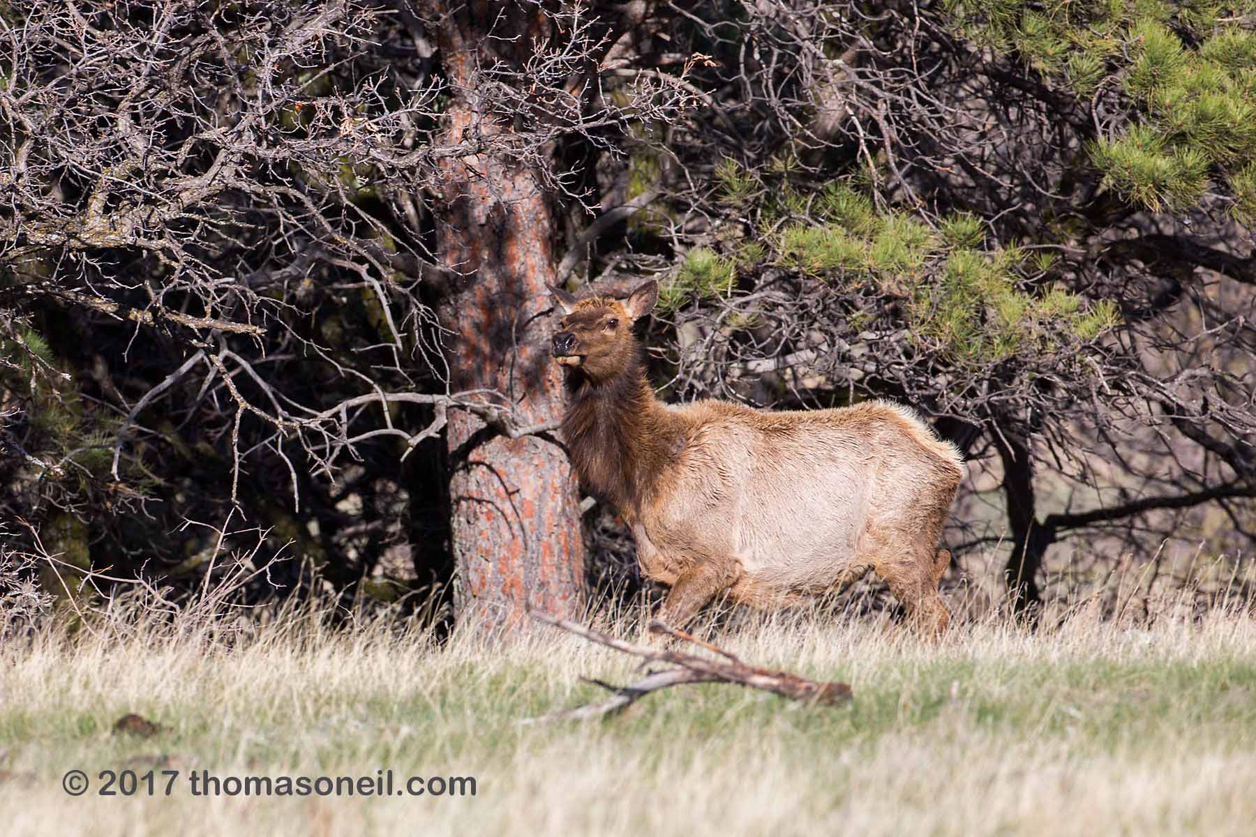 Elk in Custer State Park, April 2017.  This was on a part of the Wildlife Loop near the airport where I had never seen an elk before.  Click for next photo.
