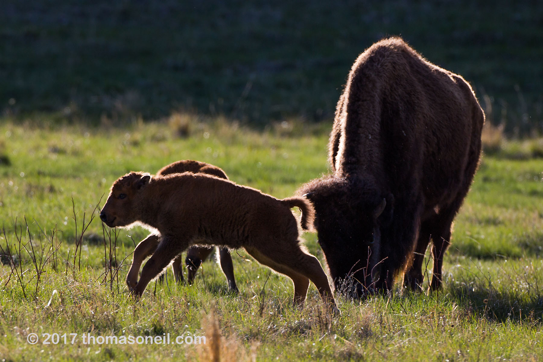 Bison baby in Custer State Park, April 2017.  Click for next photo.
