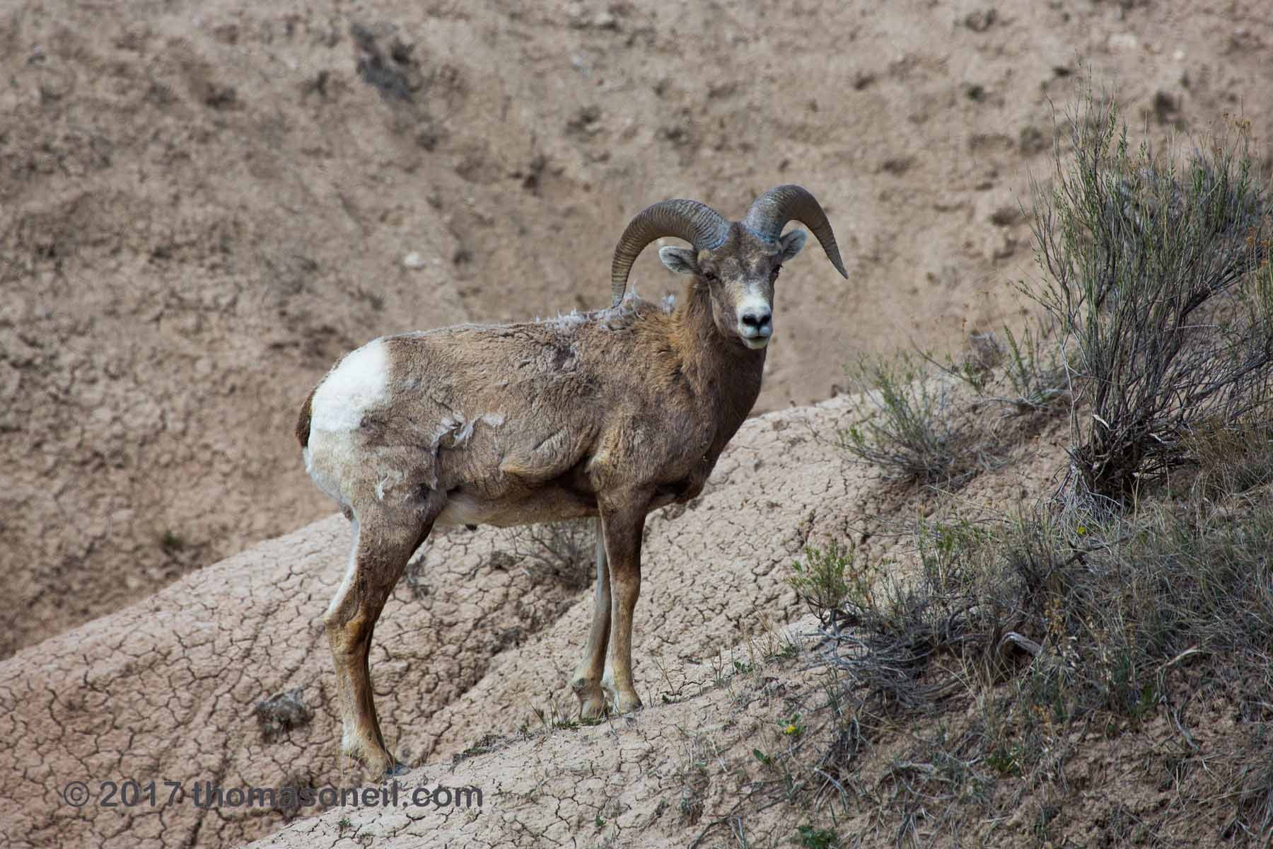 Bighorn, Badlands National Park, April 2017.  Click for next photo.