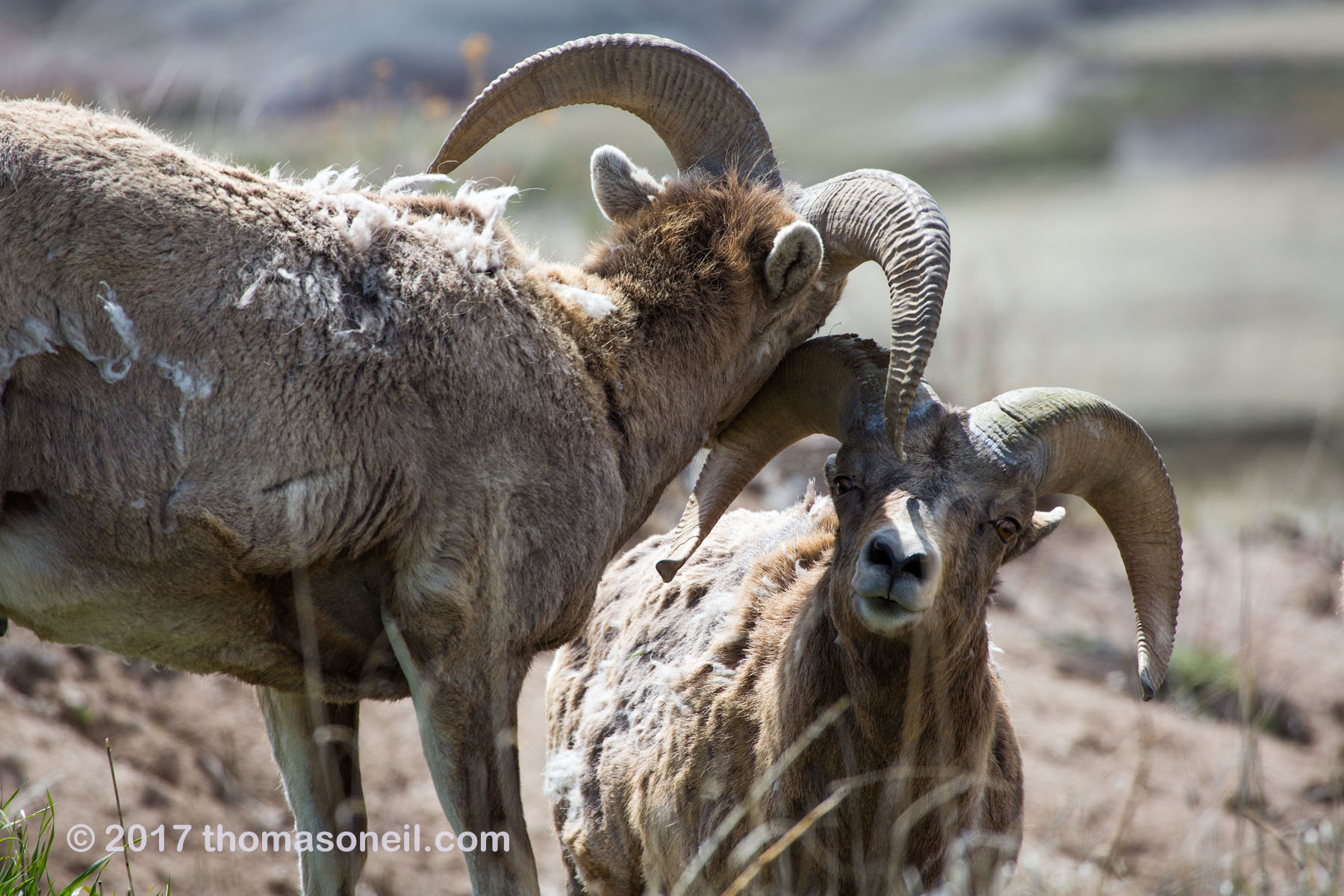 Bighorns, Badlands National Park, April 2017.  Click for next photo.
