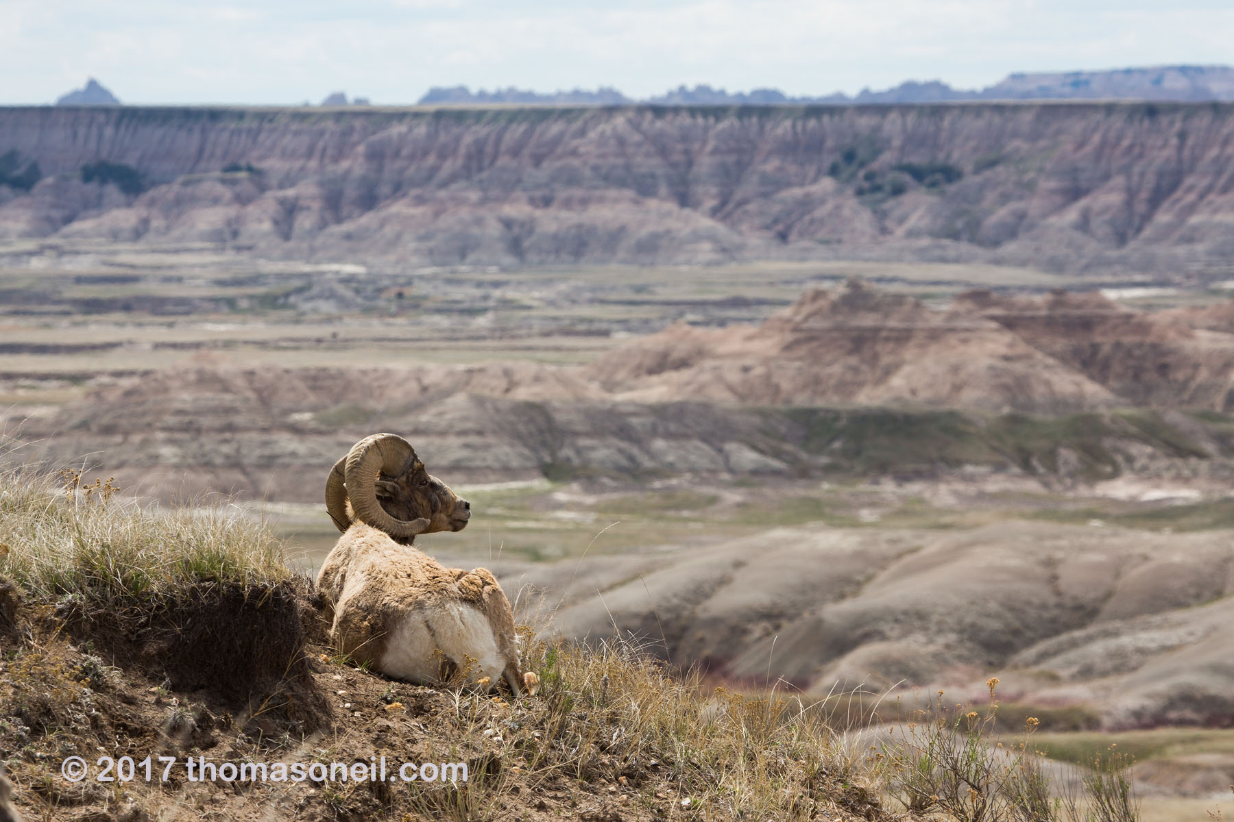 Bighorn relaxing and enjoying the view, Badlands National Park, April 2017.  Click for next photo.