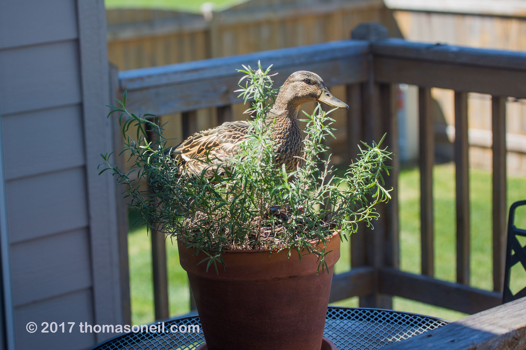 One of the weirder wildlife encounters I´ve had.  This duck seemed to be considering building a nest in the rosemary plant on my deck, April 2017.  Click for next photo.