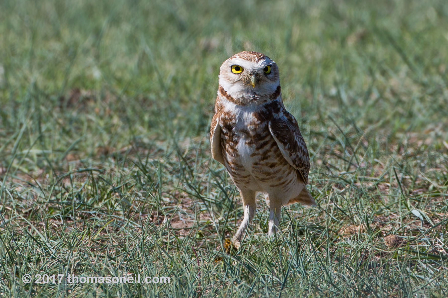 Burrowing owl south of Pierre, SD, May 2017.  Click for next photo.